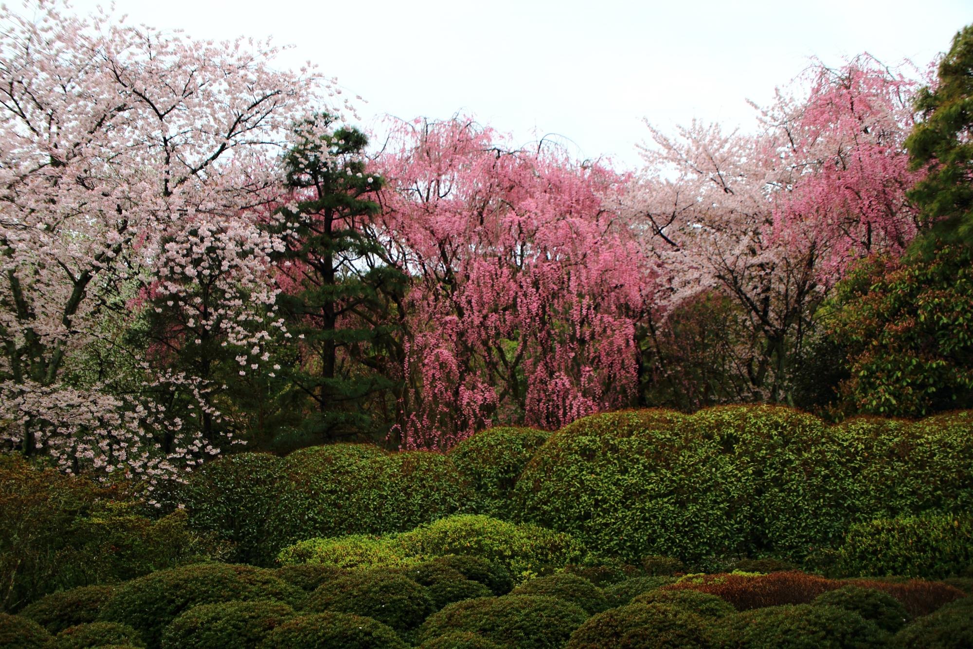納骨堂前の桜