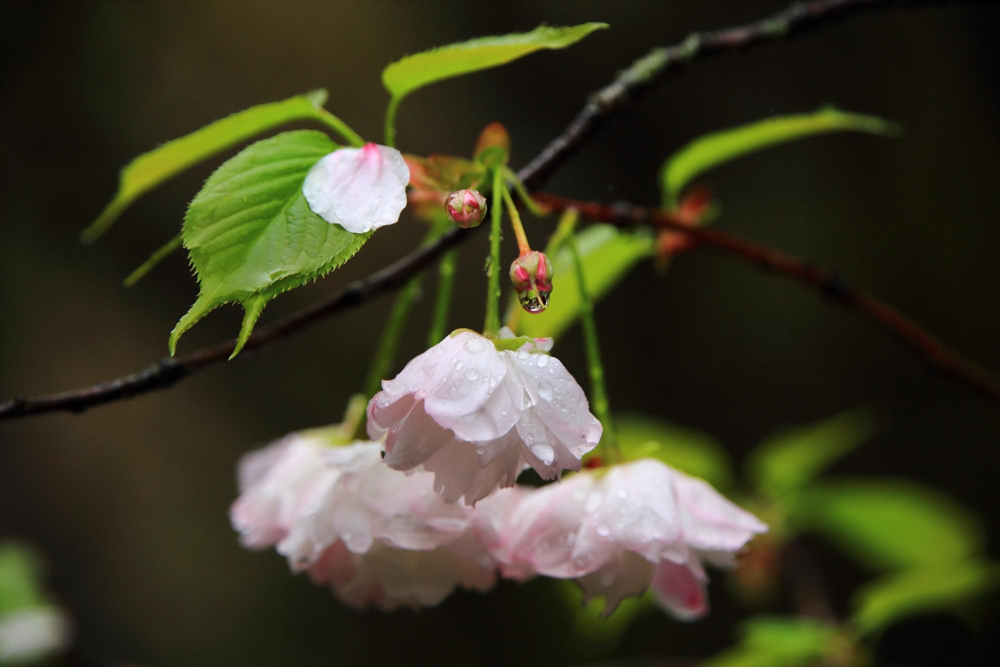 極上の潤いの桜