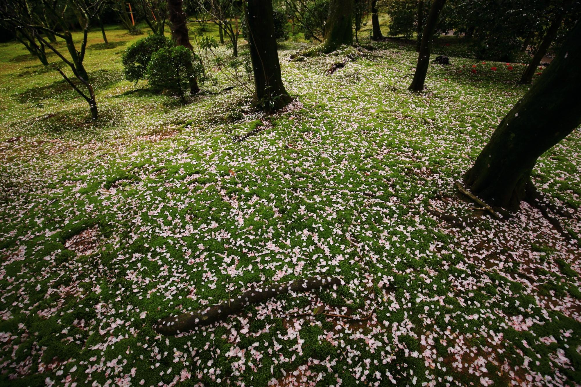 春色につつまれた雨の龍安寺