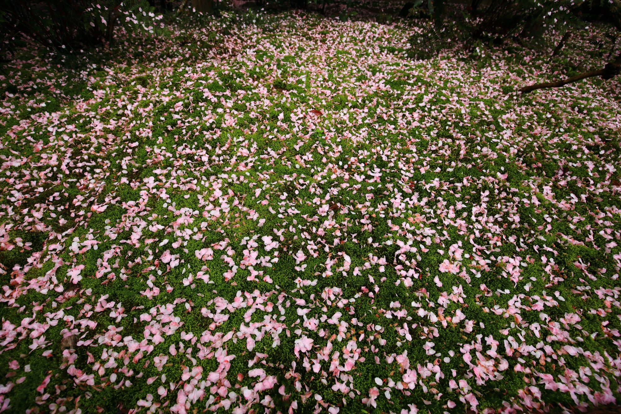 龍安寺の絶品のピンクの散り桜の絨毯
