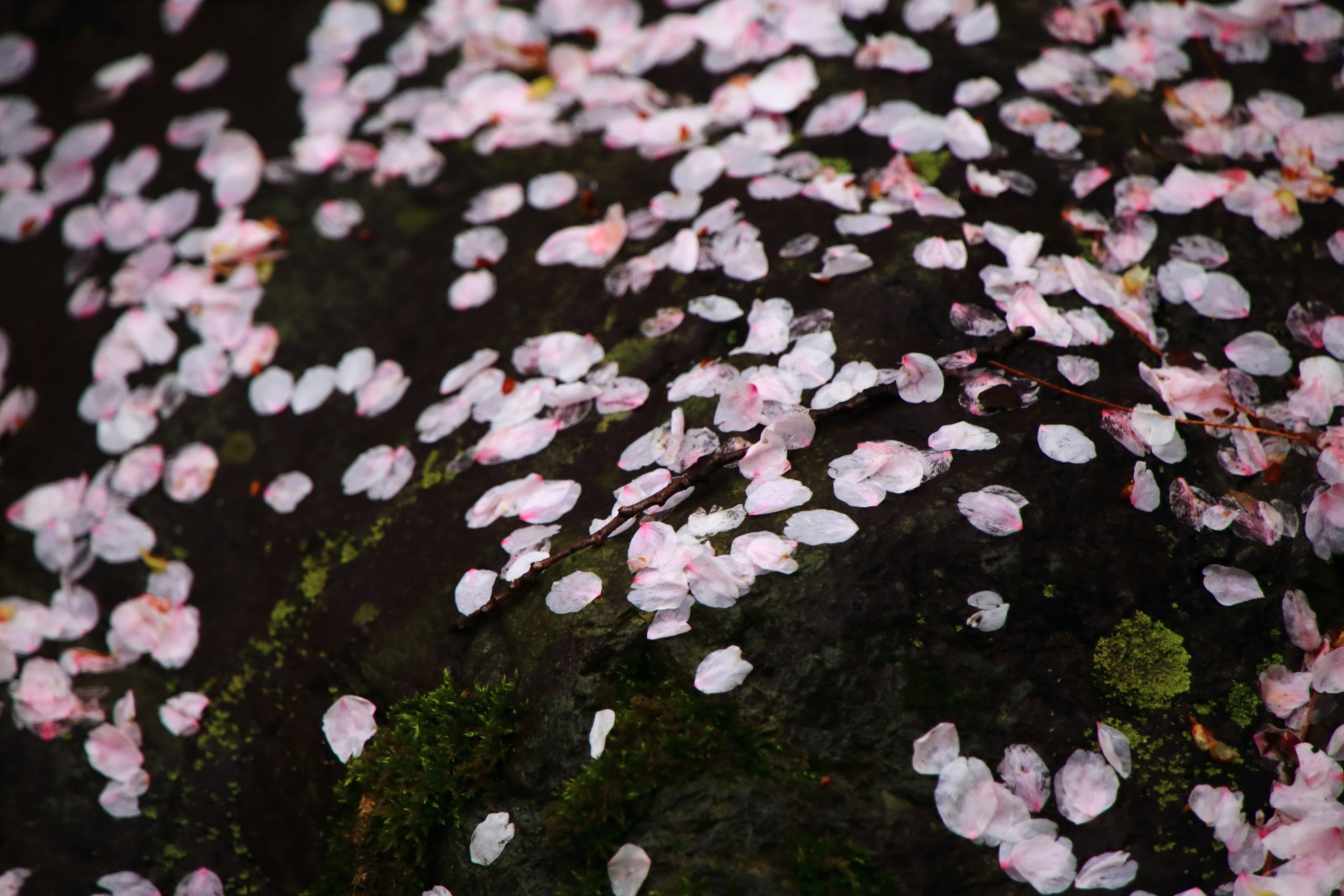 岩を華やかに染める散り桜