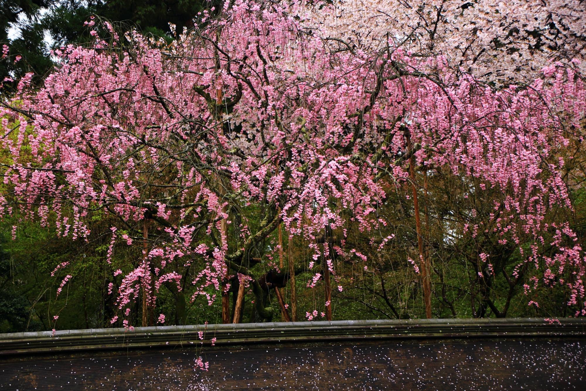 雨に濡れてしっとりと咲き誇る桜