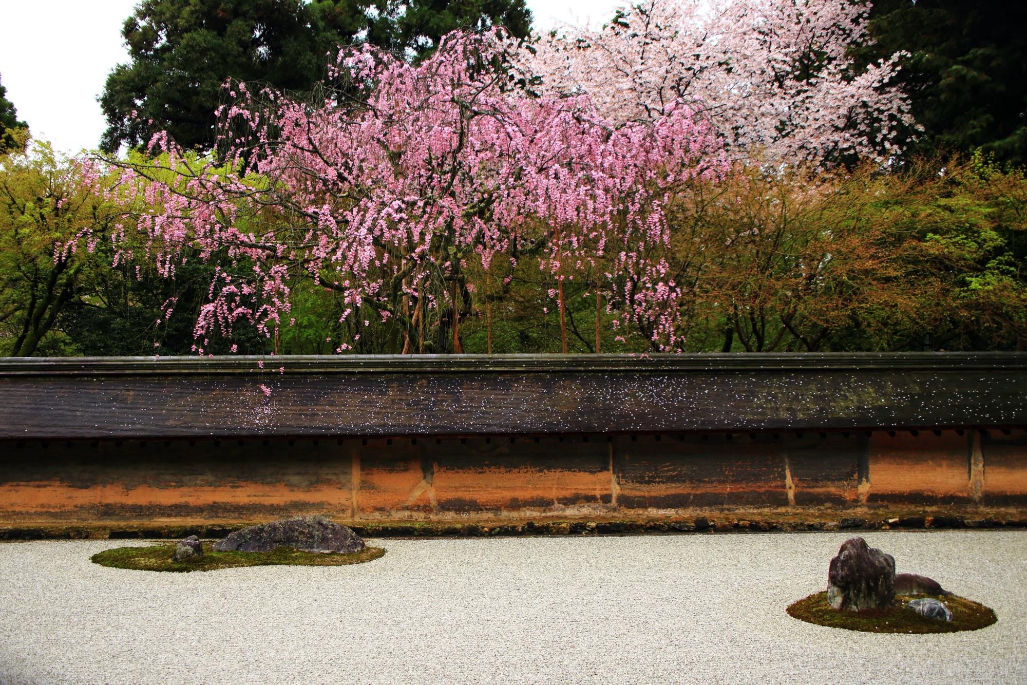 石庭に溢れ出すピンクと白の桜