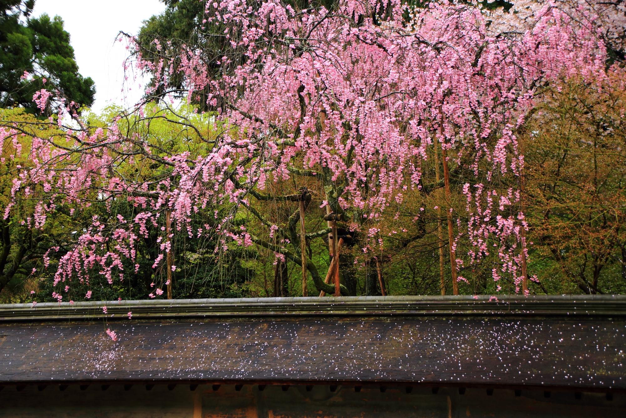 土塀に鮮やかに降り注ぐ桜