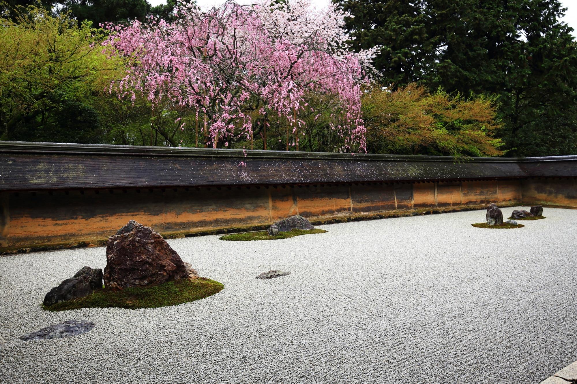 趣きある石庭で優雅に咲く紅白の桜