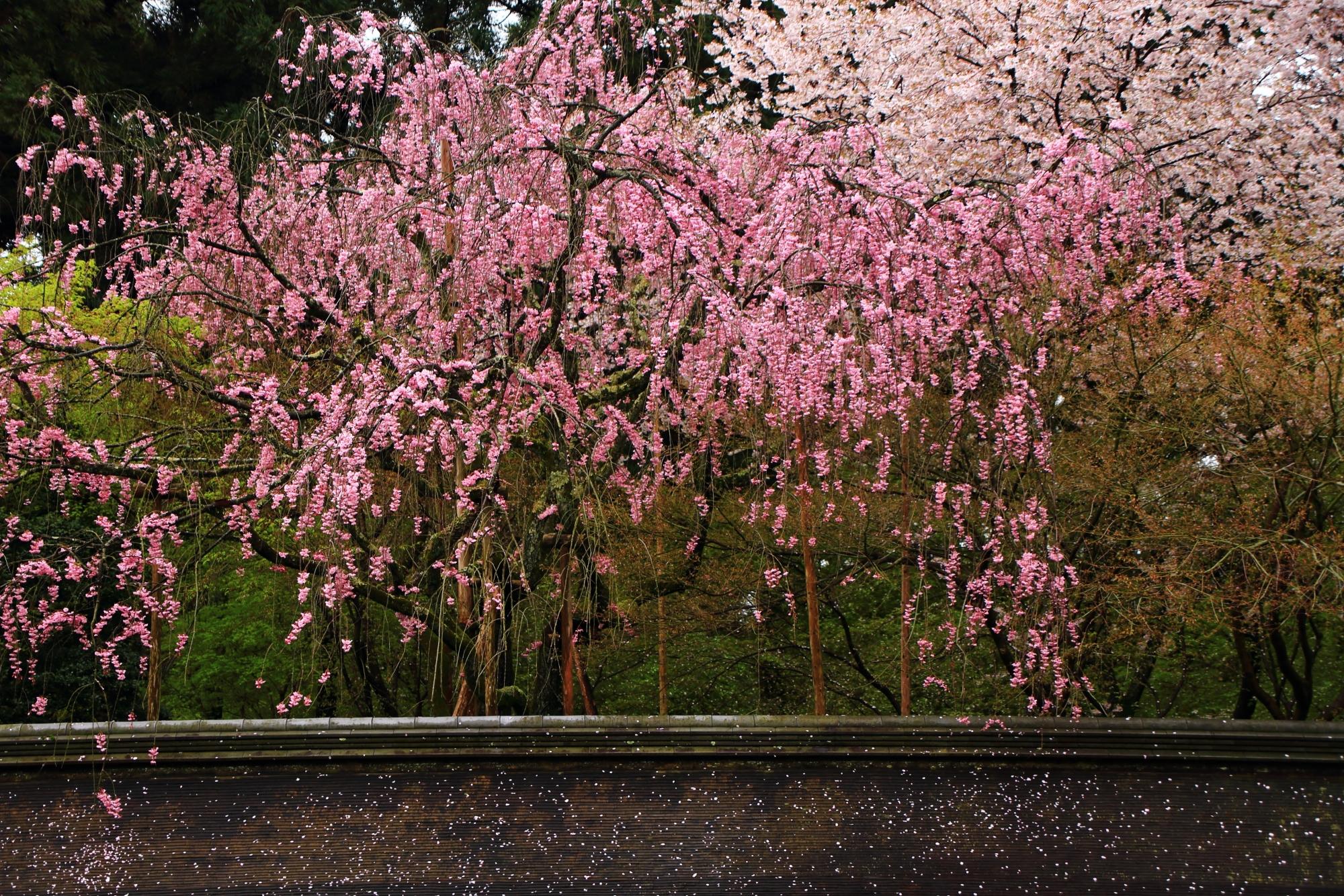 絶妙に合うピンクのしだれ桜と白の染井吉野