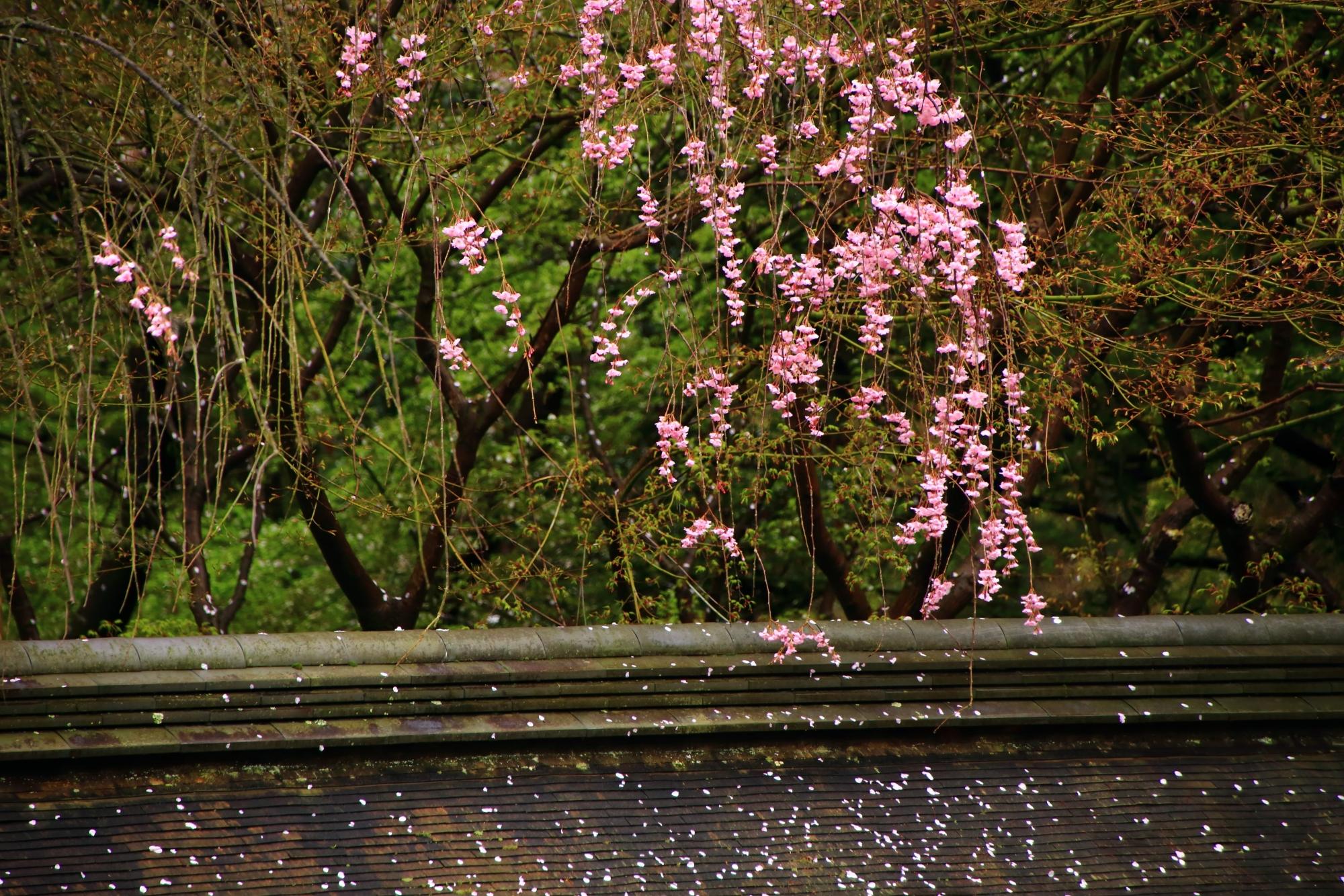 土塀の屋根に可憐に散るしだれ桜