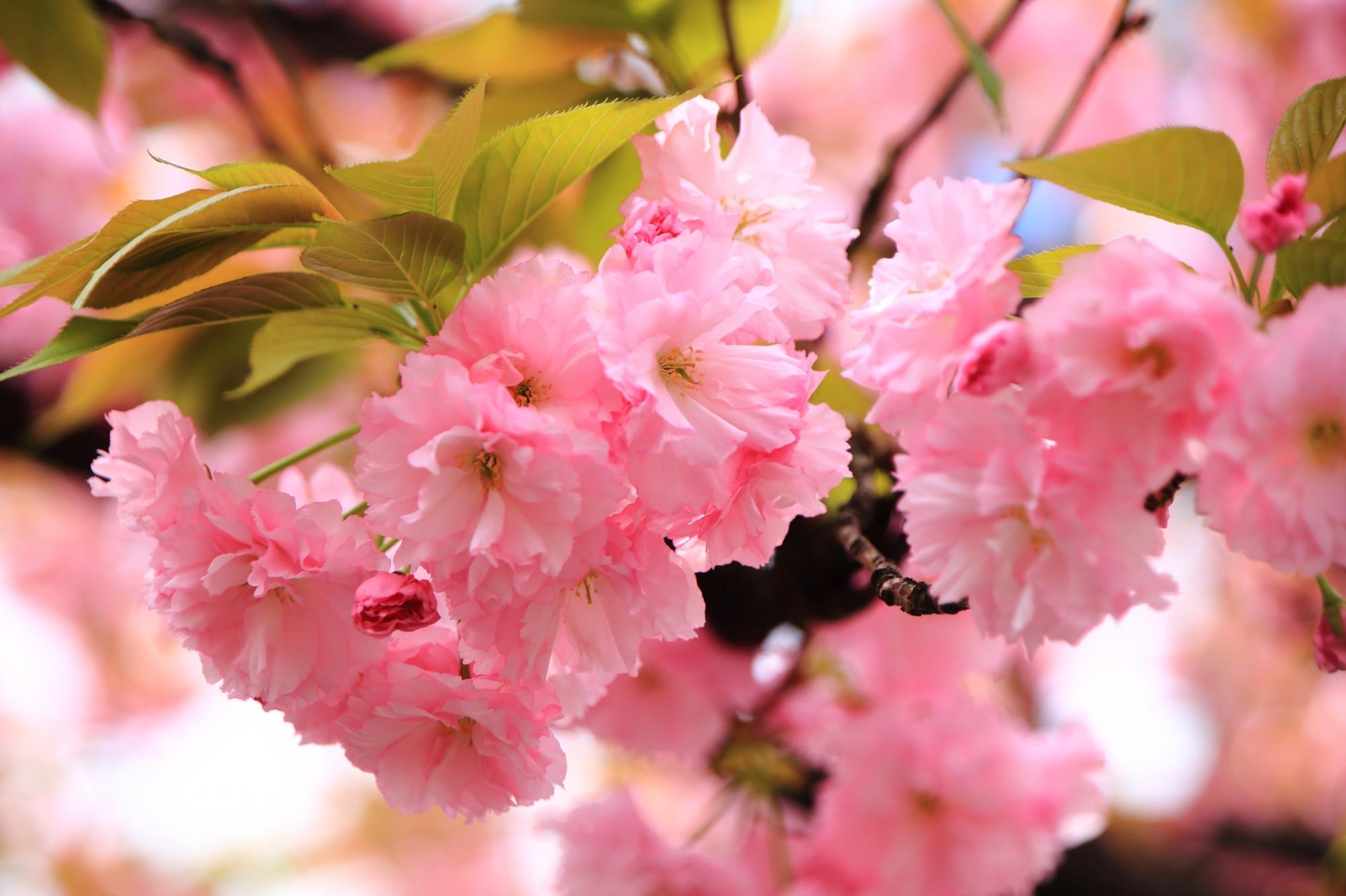 光の当たり具合では優しく淡いピンク色にもなる里桜