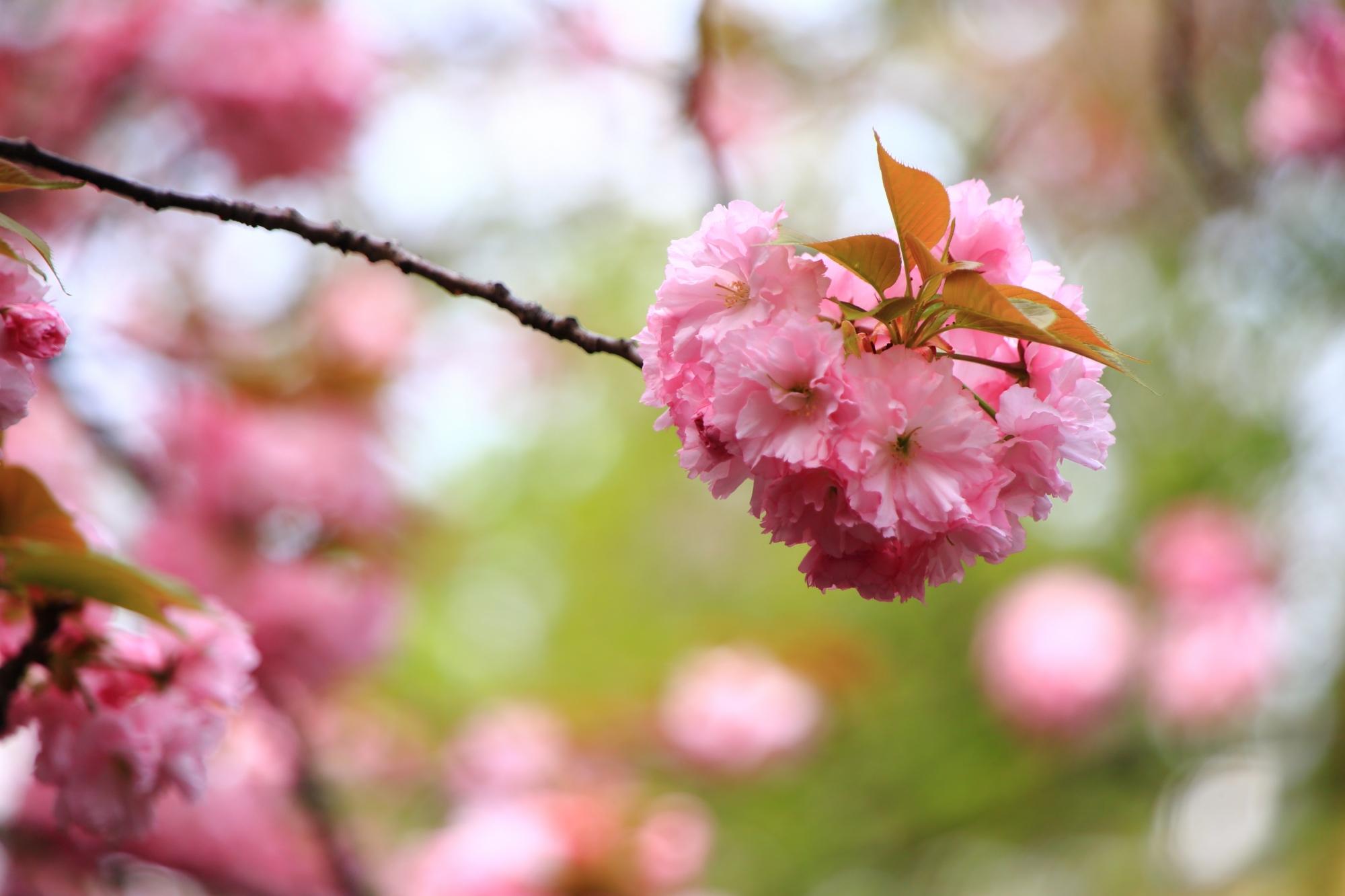 ボールのように丸くてモコモコした桜