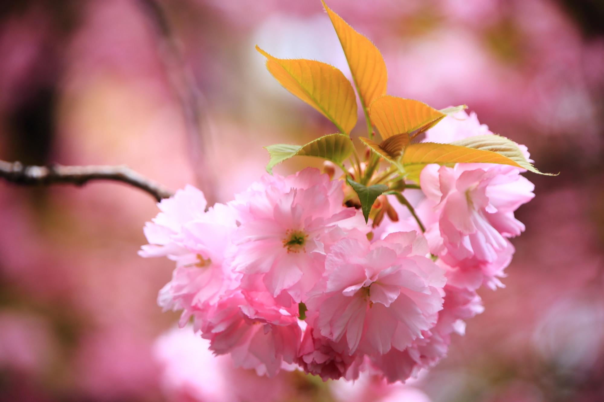 葉が出る種類の八重桜(里桜)