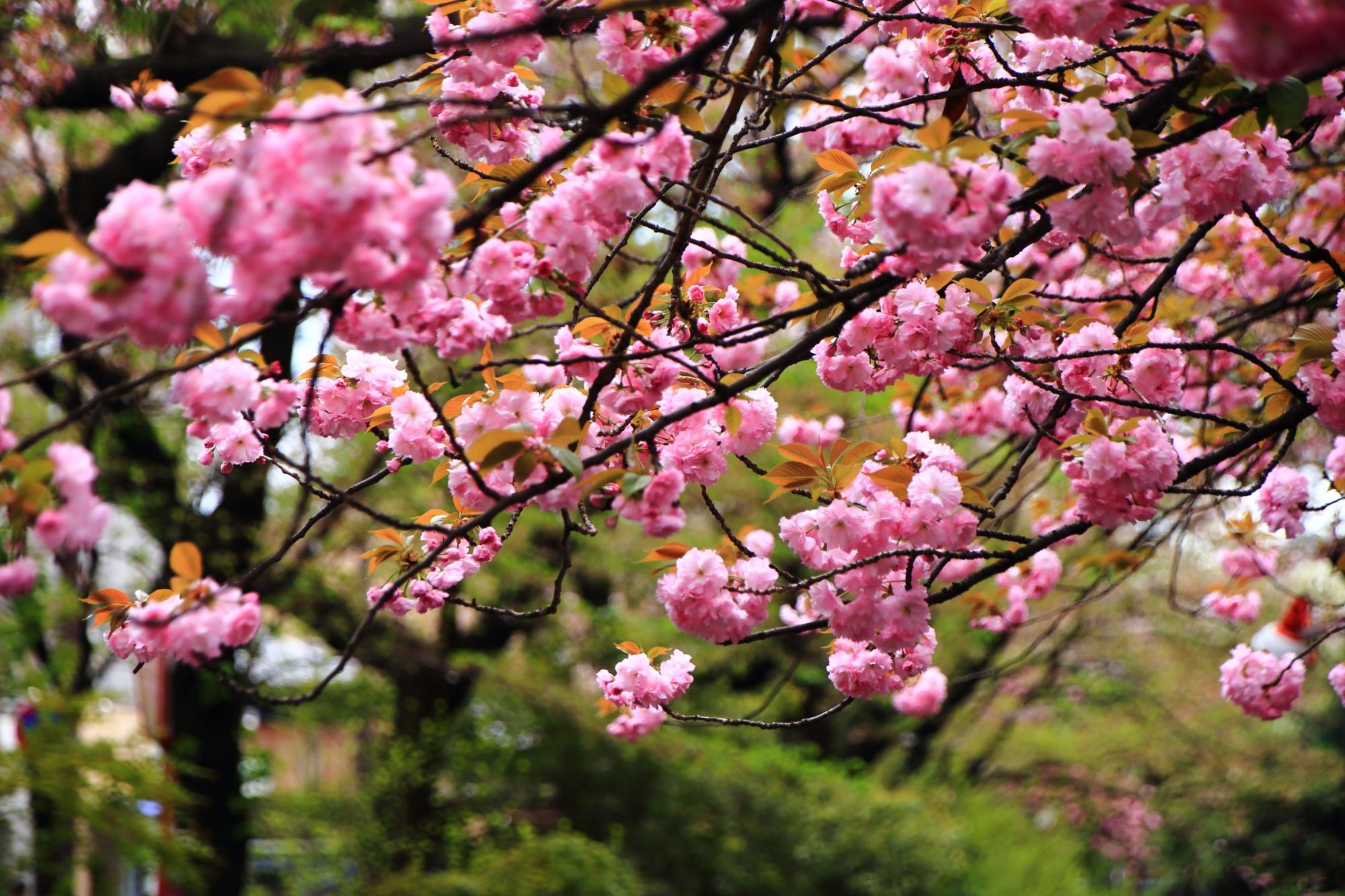 高画質 写真 木屋町通り 八重桜