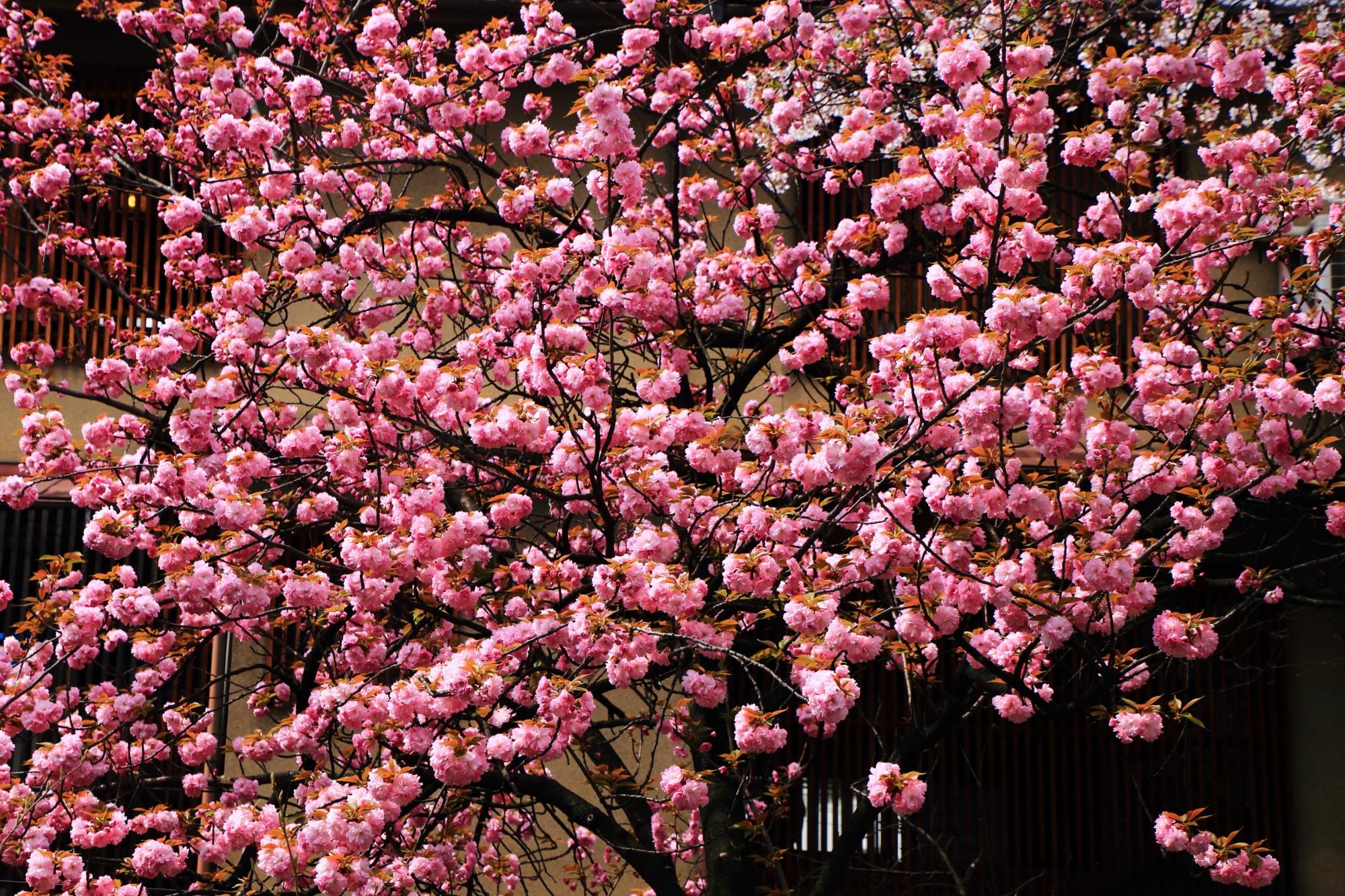 木屋町通りの咲き過ぎで花が密集している八重桜