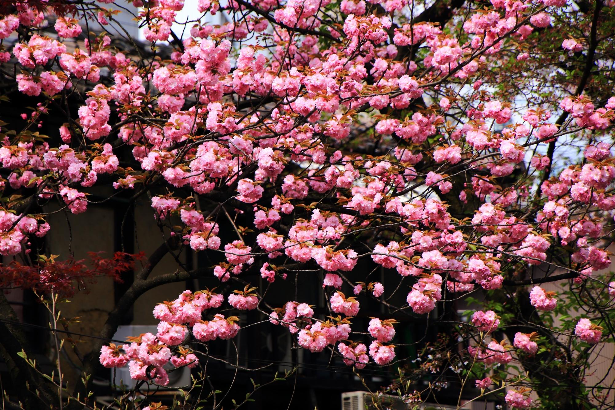 飛び跳ねんとばかりに咲きまくる里桜