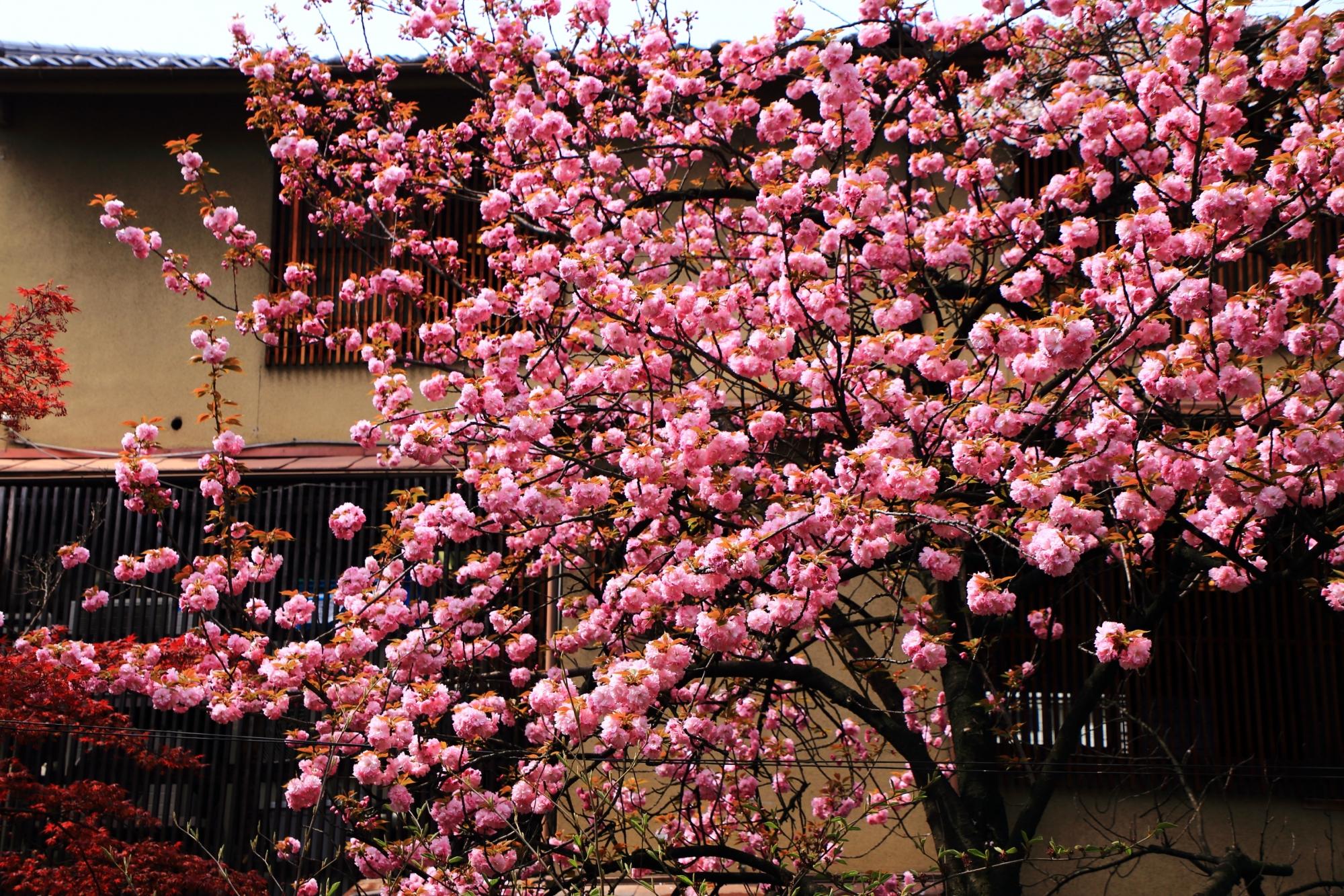 葱や平吉さんの前あたりのたくさんのピンクの桜のボール