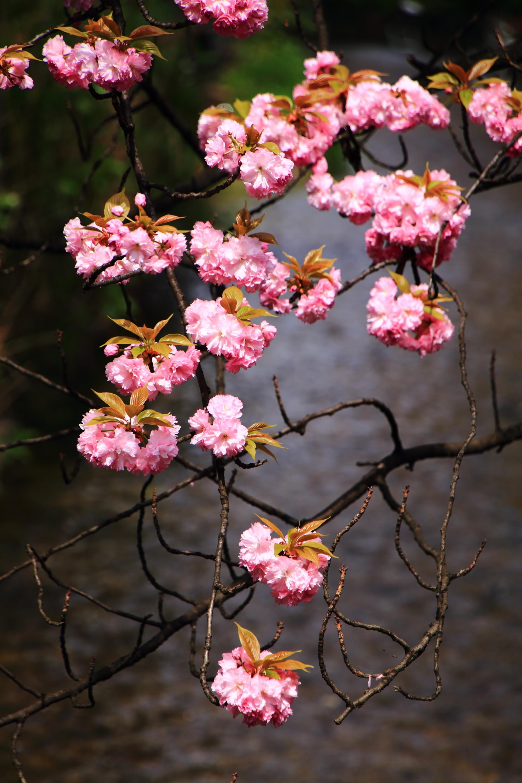 水辺を鮮やかに彩るたくさんのピンクの桜のボール