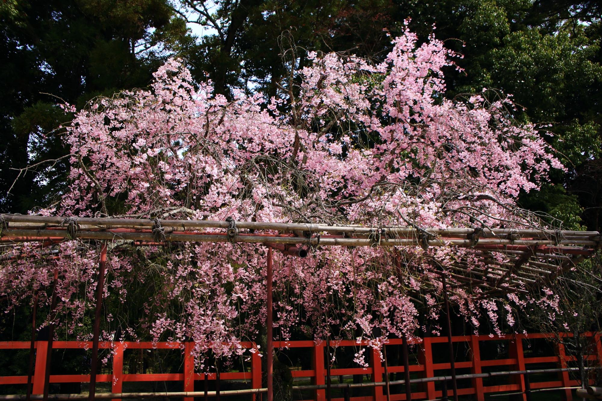 境内の一角で静かに咲き誇る風流桜