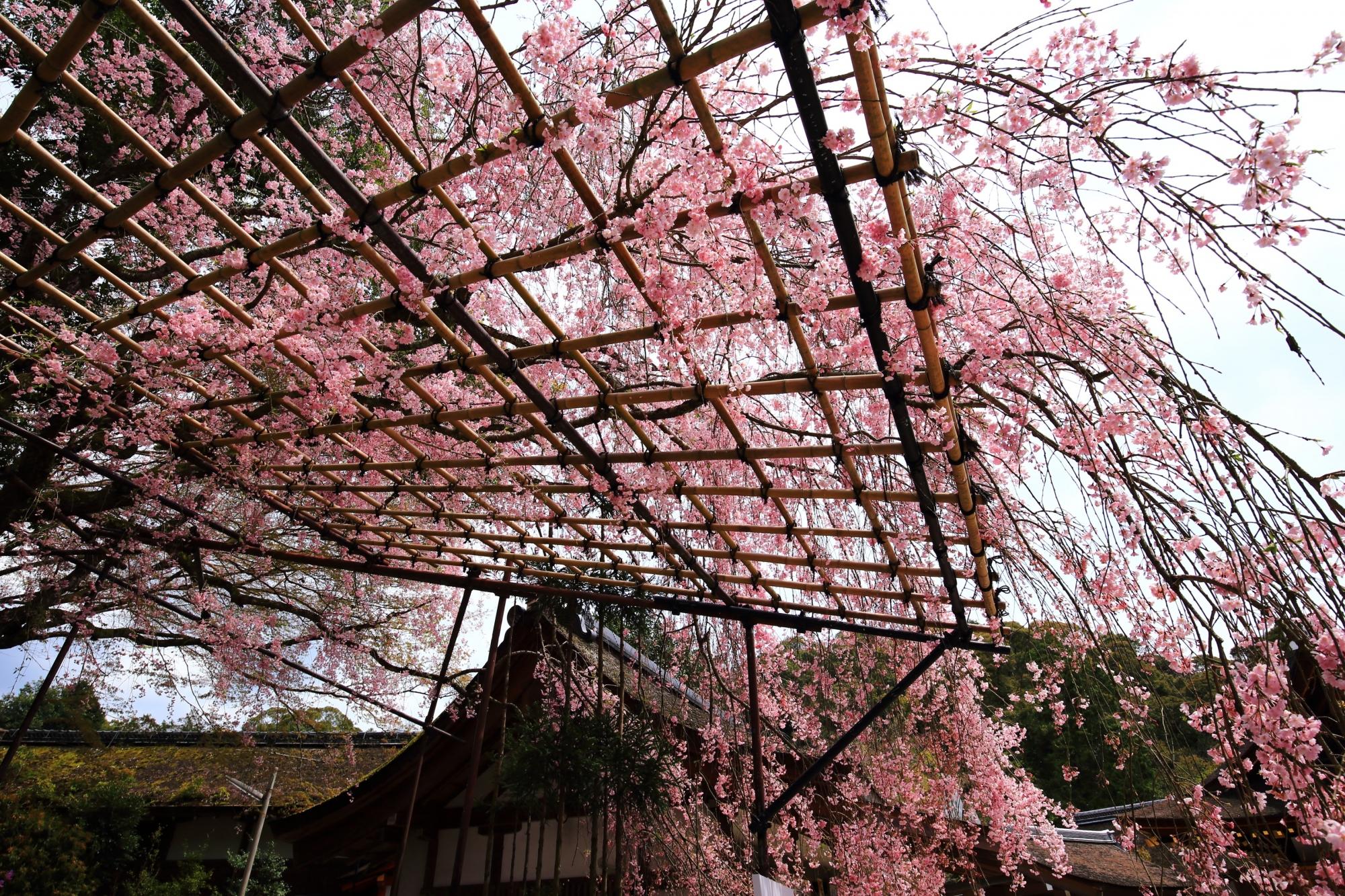 曇天は残念も空から降り注ぐピンクのしだれ桜