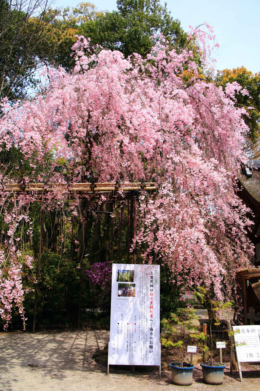 上賀茂神社の優雅に境内を彩るみあれ桜