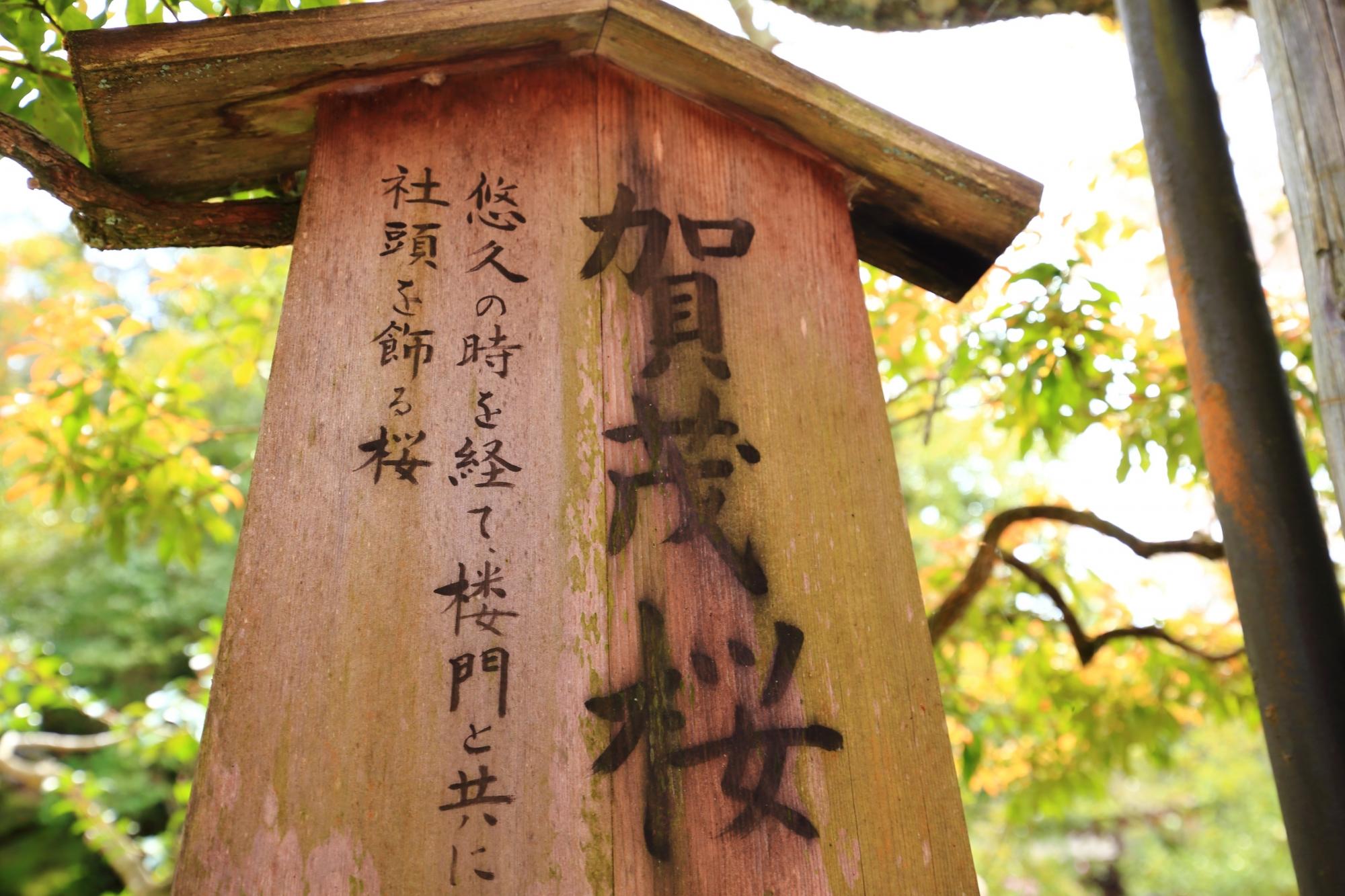賀茂桜の説明の立て札