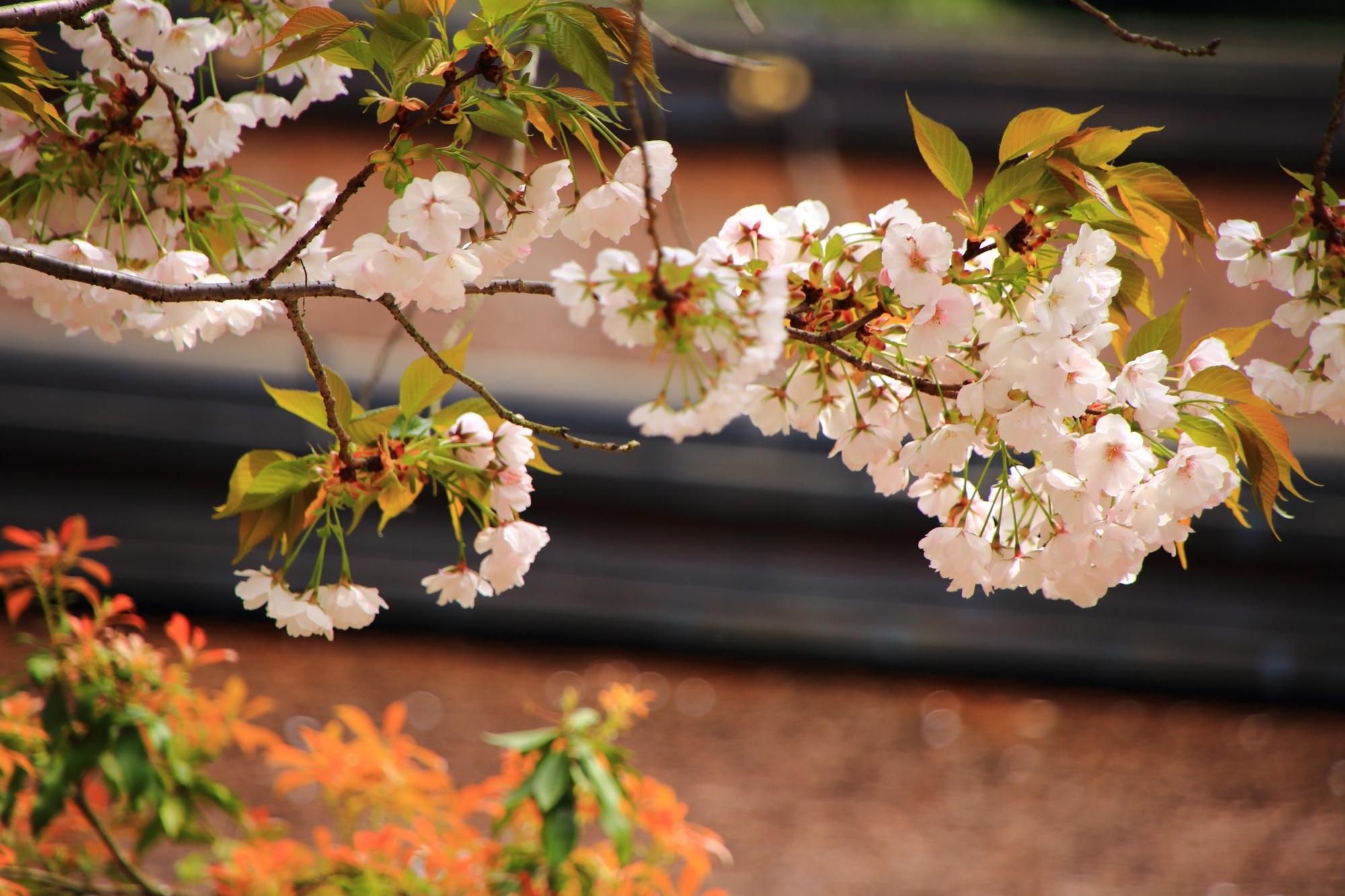 葉の出る種類の桜