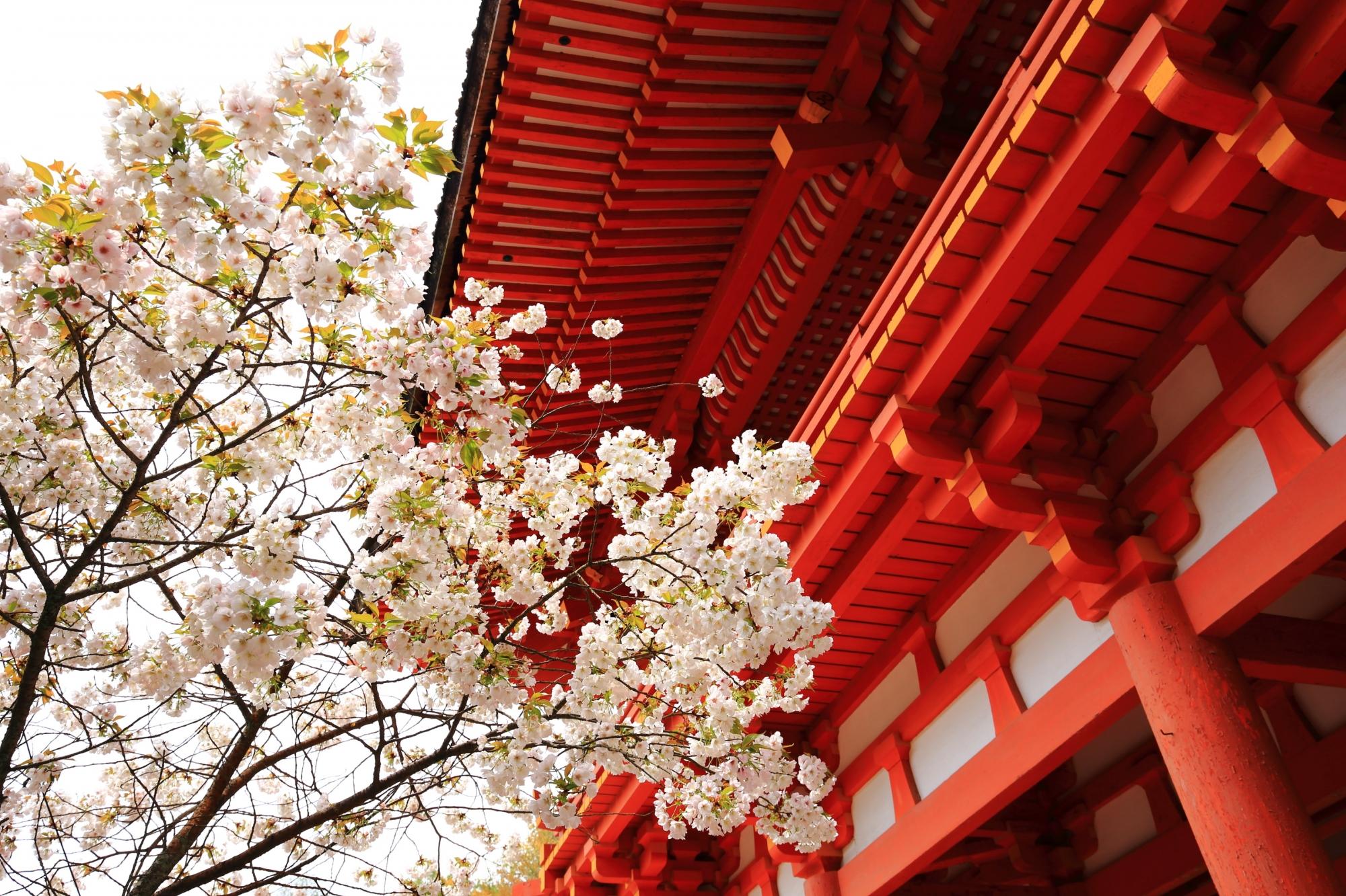 曇天が残念も鮮やかな赤い楼門を白く彩る賀茂桜