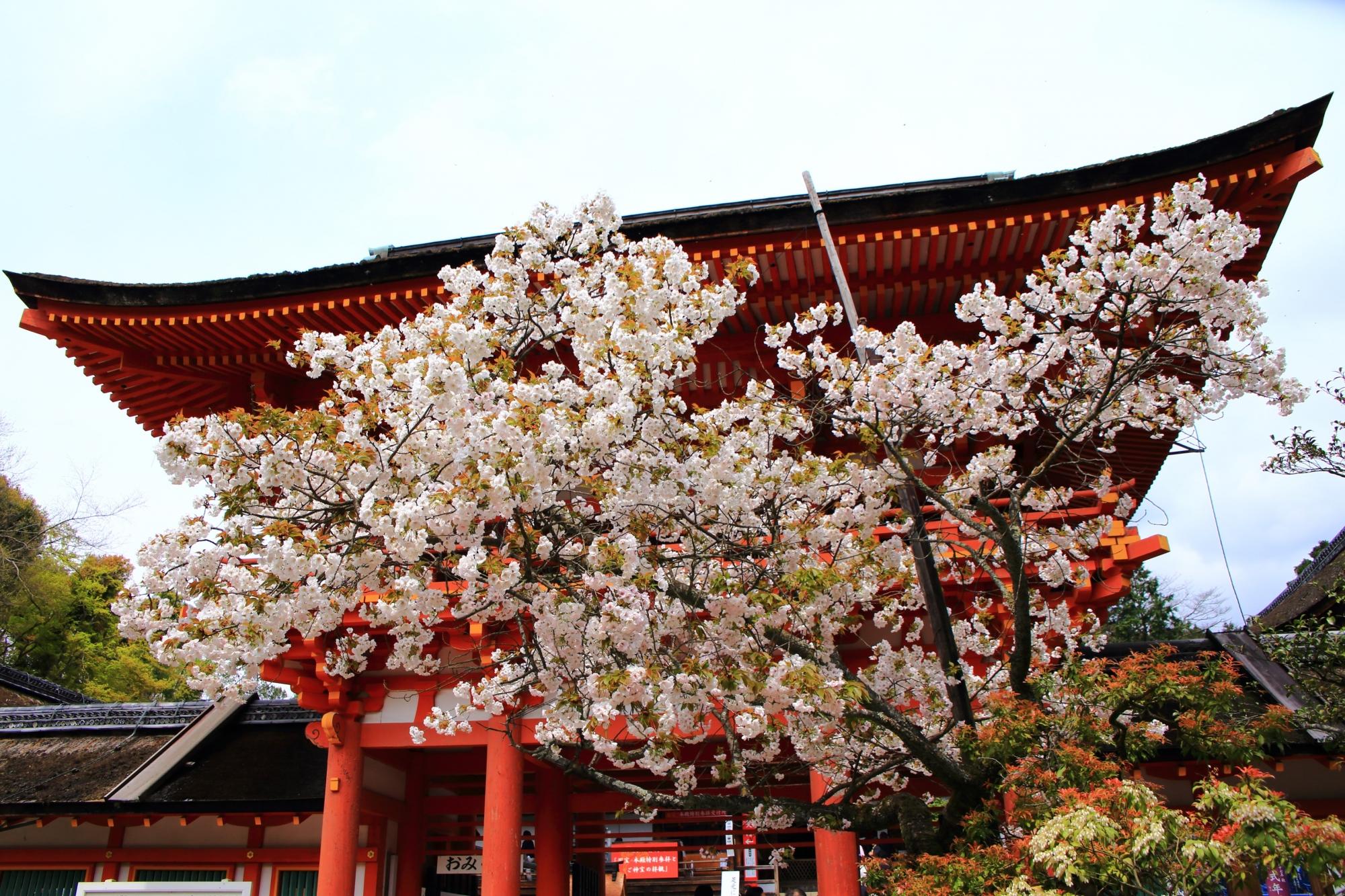 楼門を華やかにつつむ賀茂桜