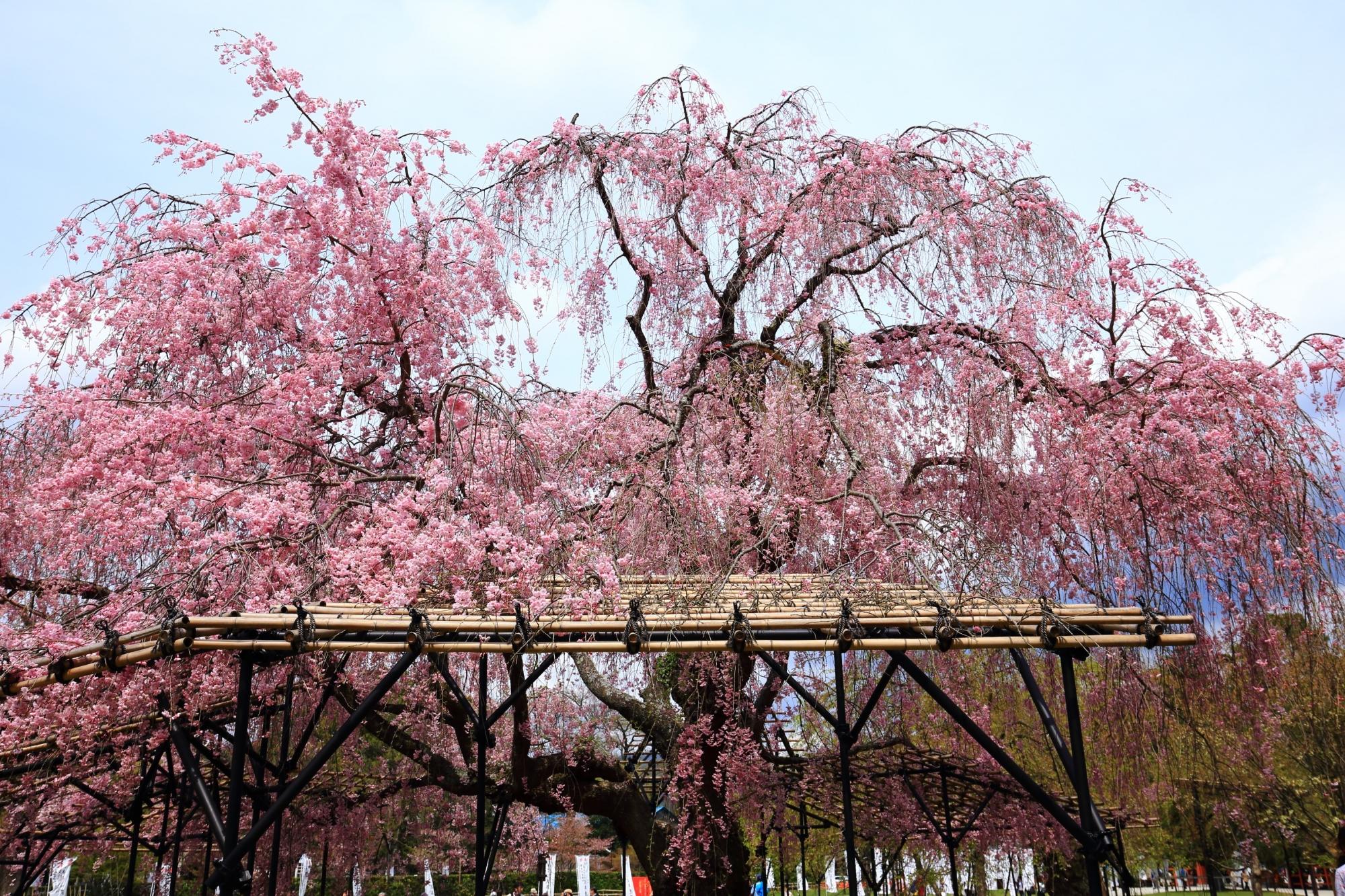 境内を春色に豪快に彩るさくら