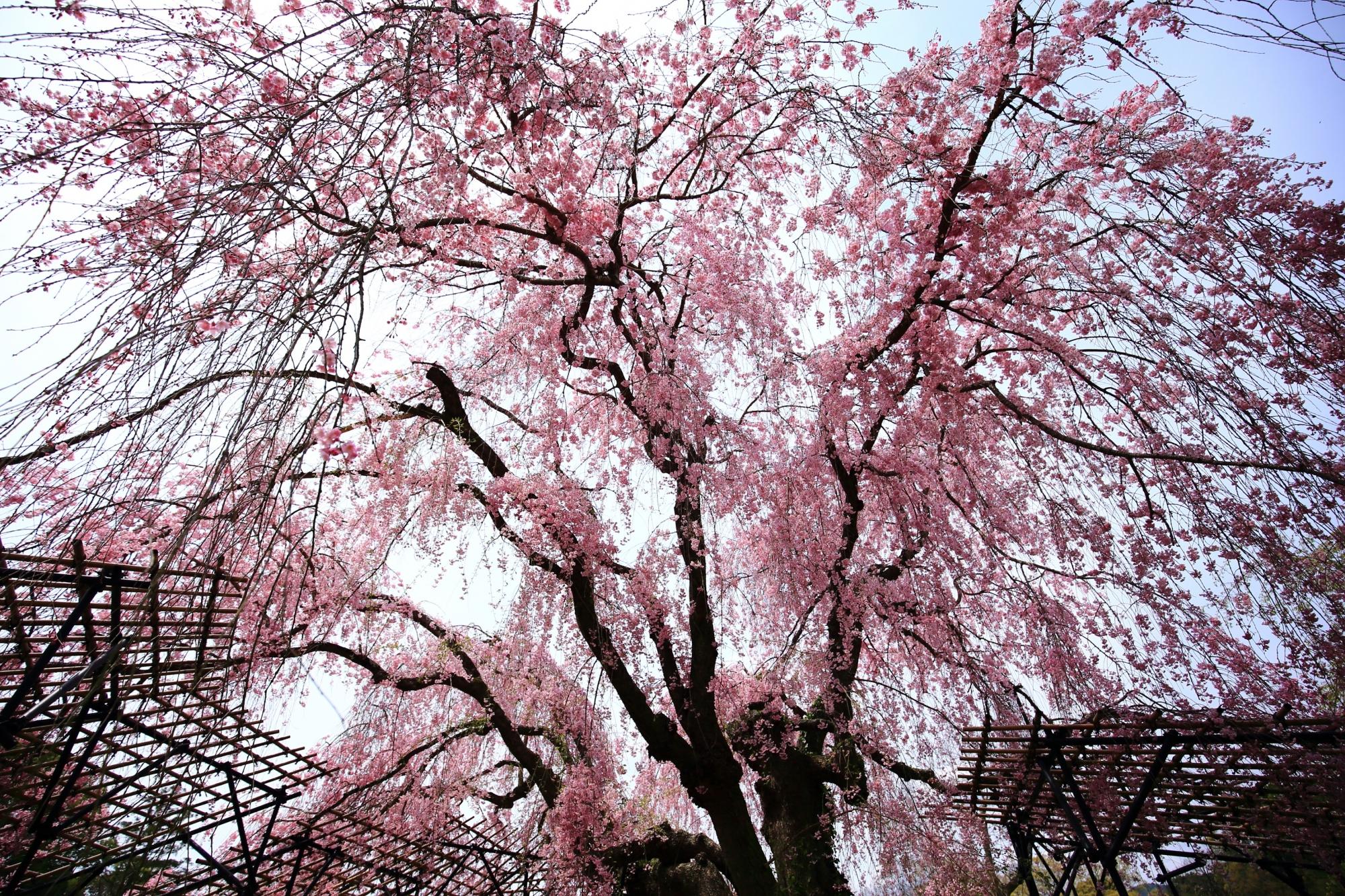 空を覆う圧巻の斎王桜