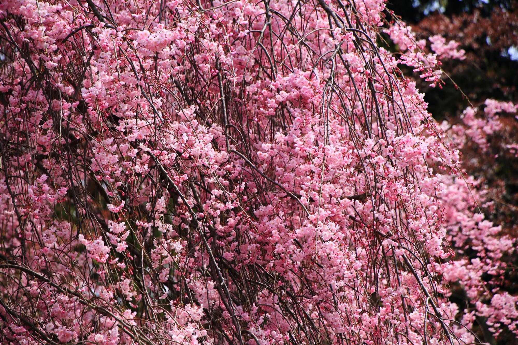溢れんばかりの満開の斎王桜