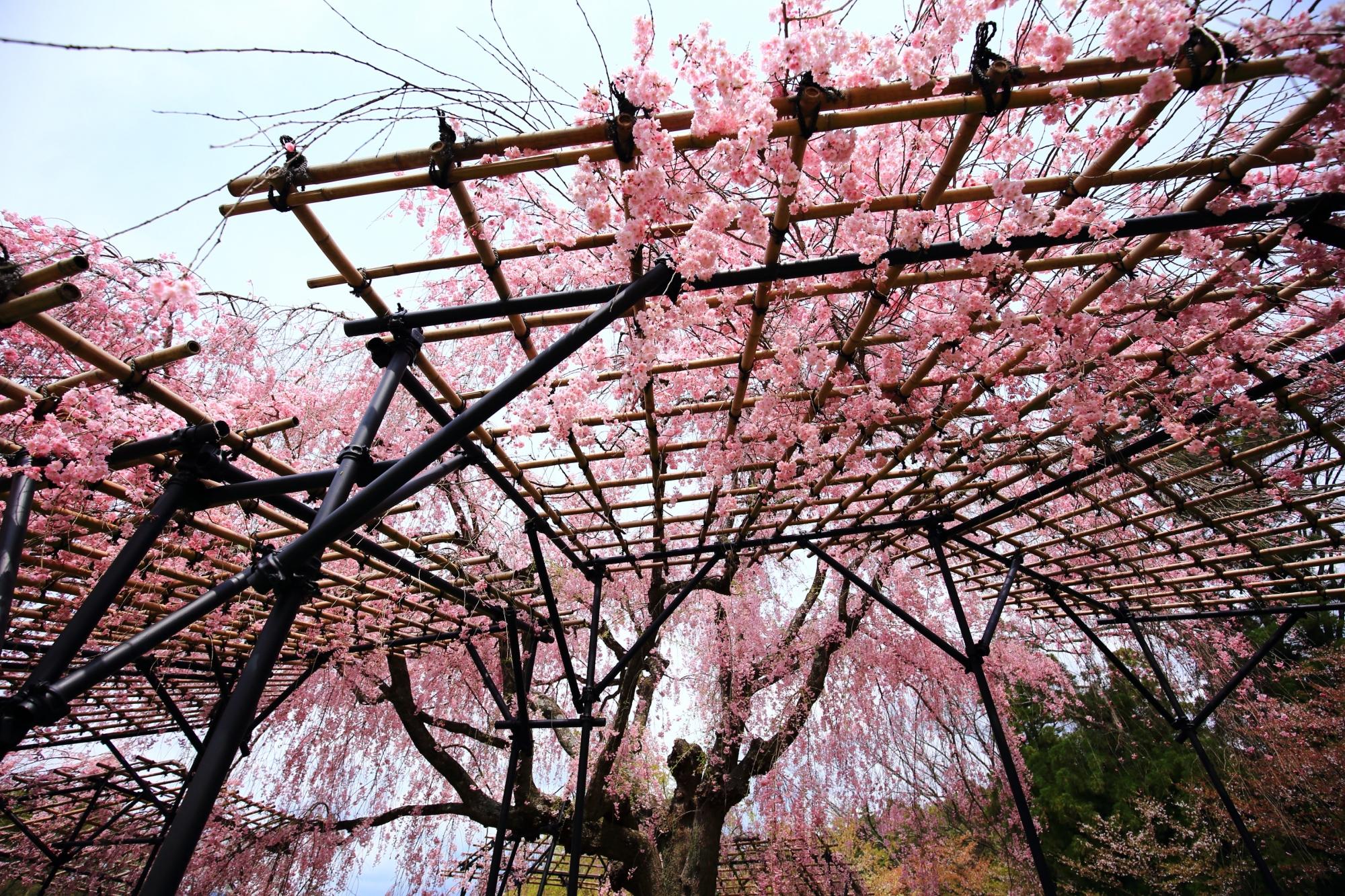上賀茂神社の空から降り注ぐピンクの桜の花