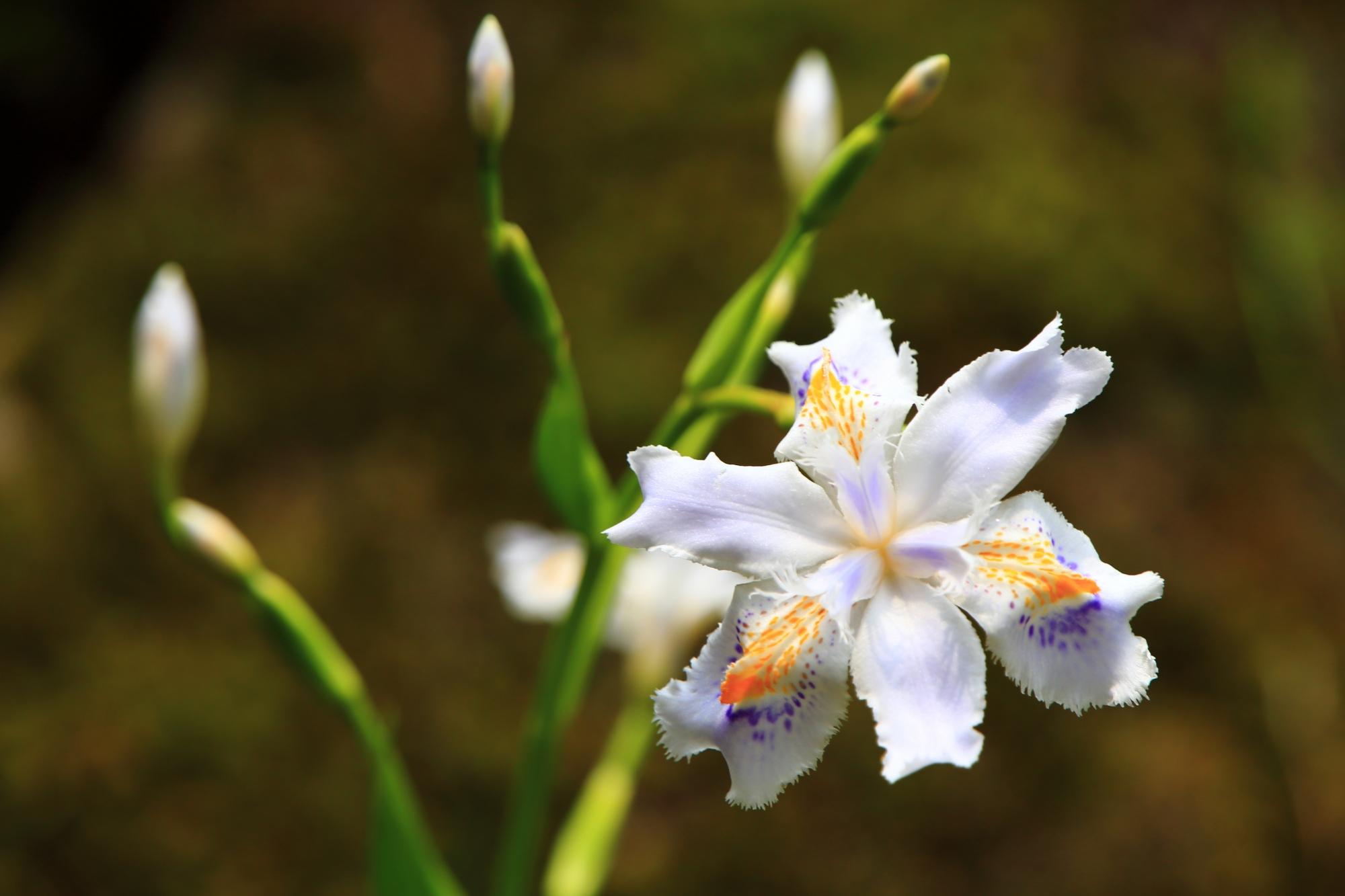 参道のシャガの花