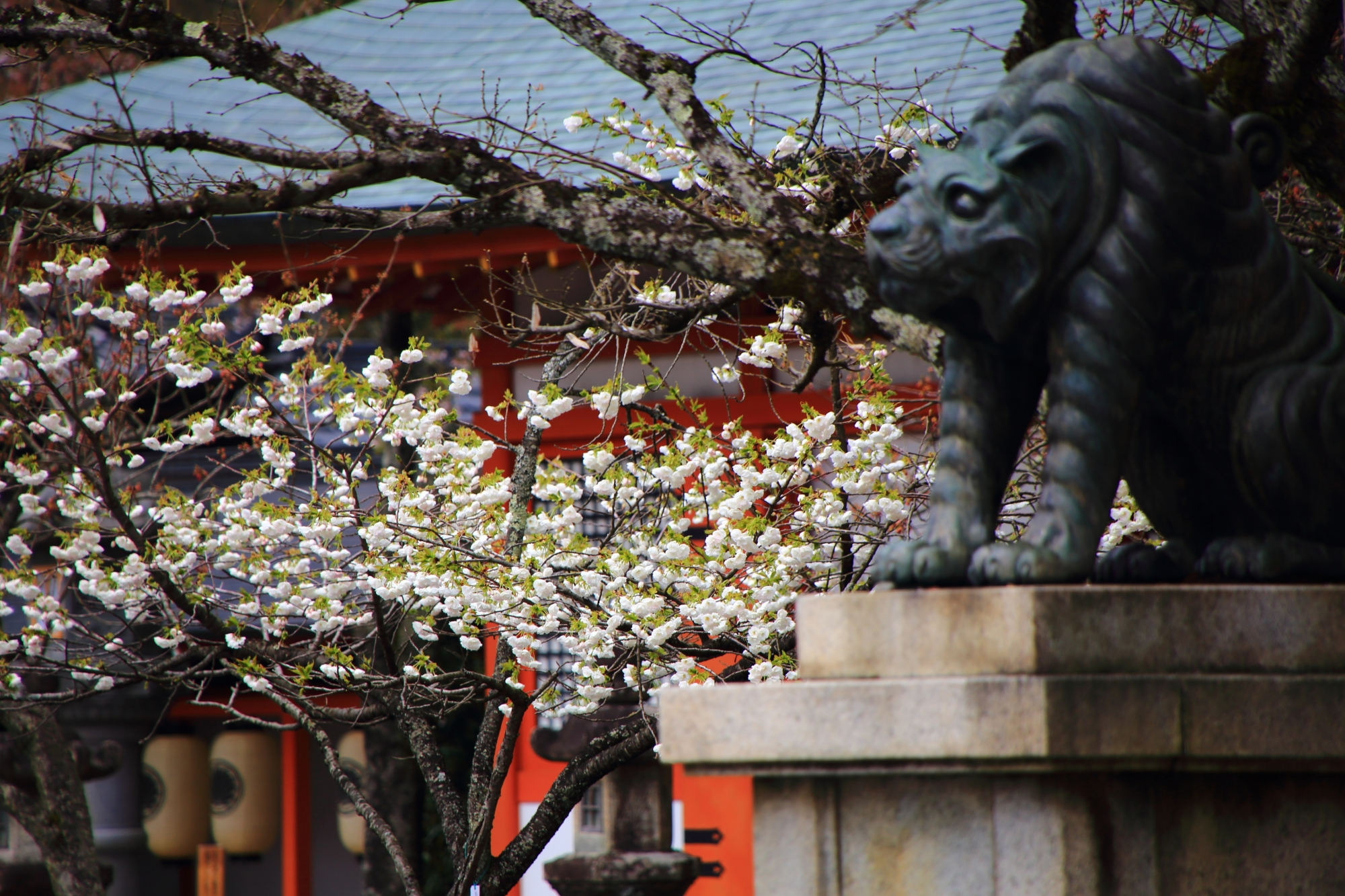 狛虎と華やかな八重桜(里桜)