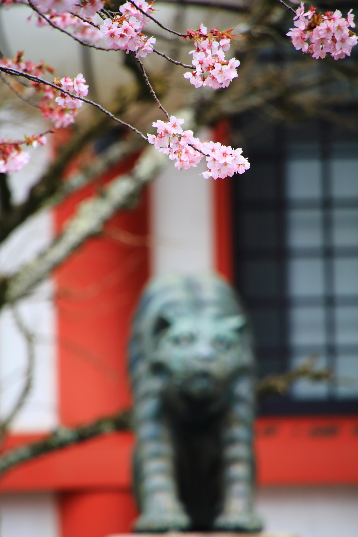 狛虎と金堂を彩る残ったソメイヨシノ