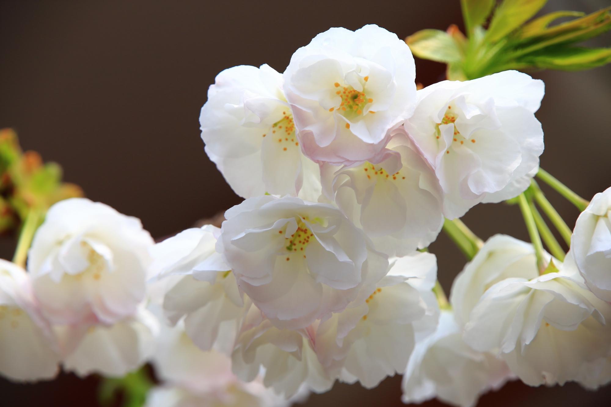 近くで見ると花びら一枚一枚は非常に繊細な八重桜