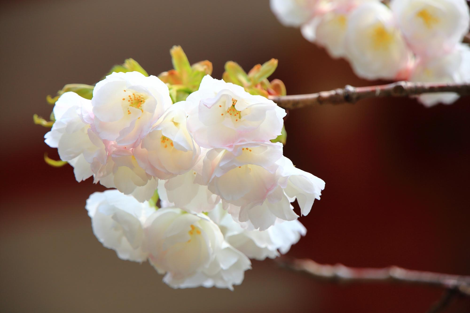 柔らかい白色の桜の花