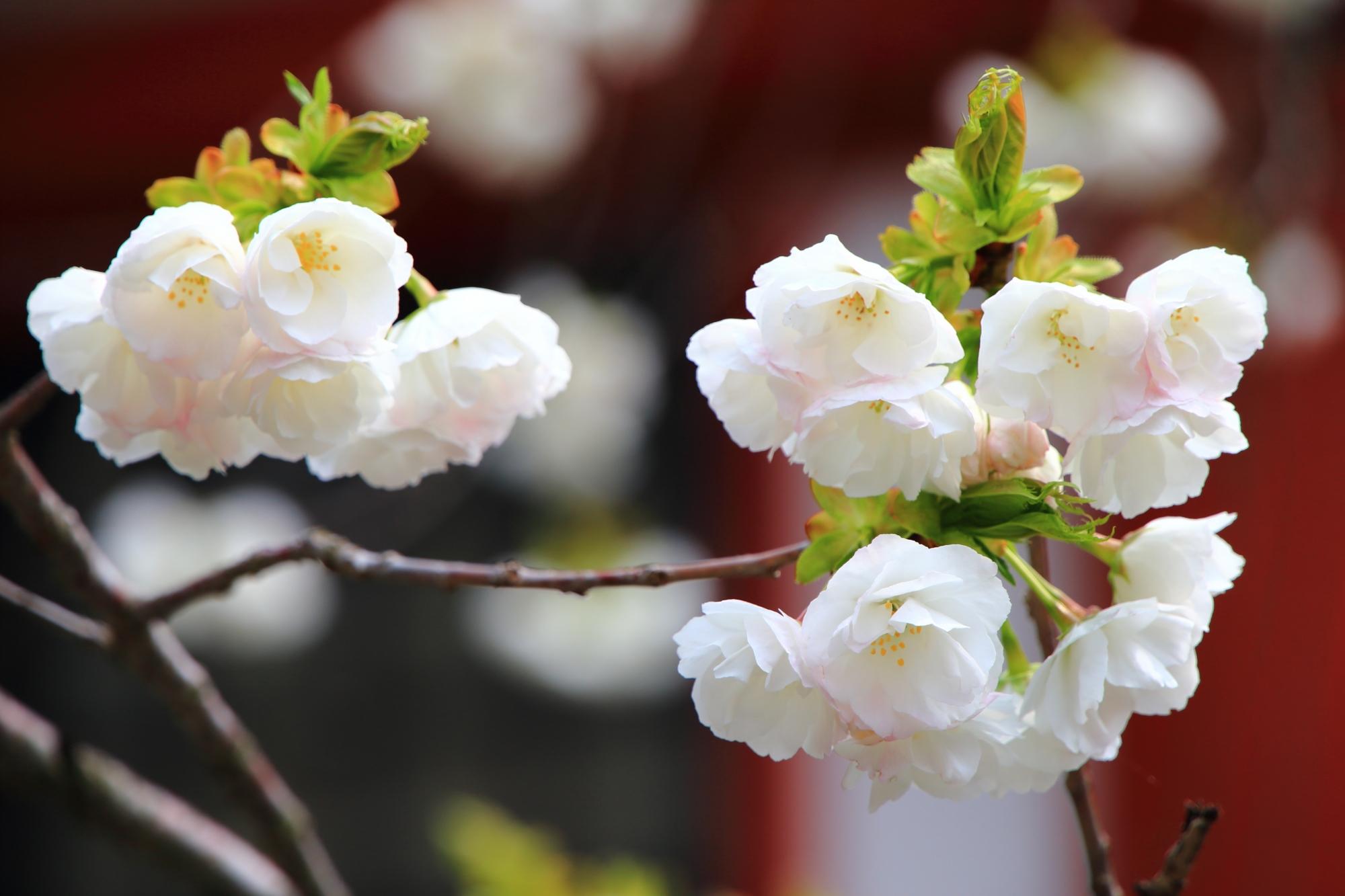 金堂前をほのかな春色に彩る里桜