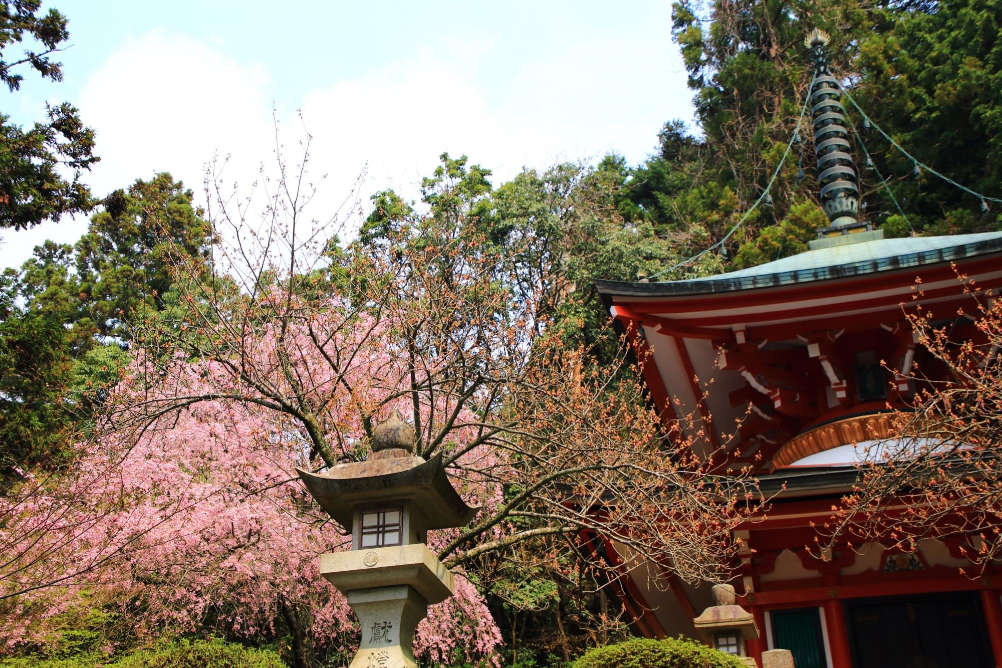 鞍馬寺の溢れるように咲き誇る満開のしだれ桜