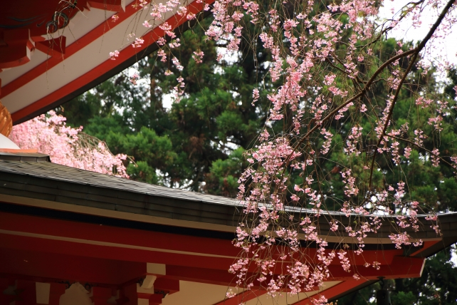 weeping cherry tree Kyoto Kurama-dera Temple 満開 春 鞍馬寺 多宝塔