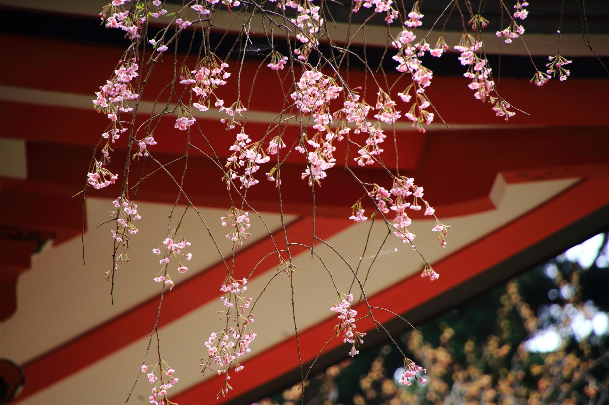 優しく揺らぐ可愛い花の咲くしだれ桜