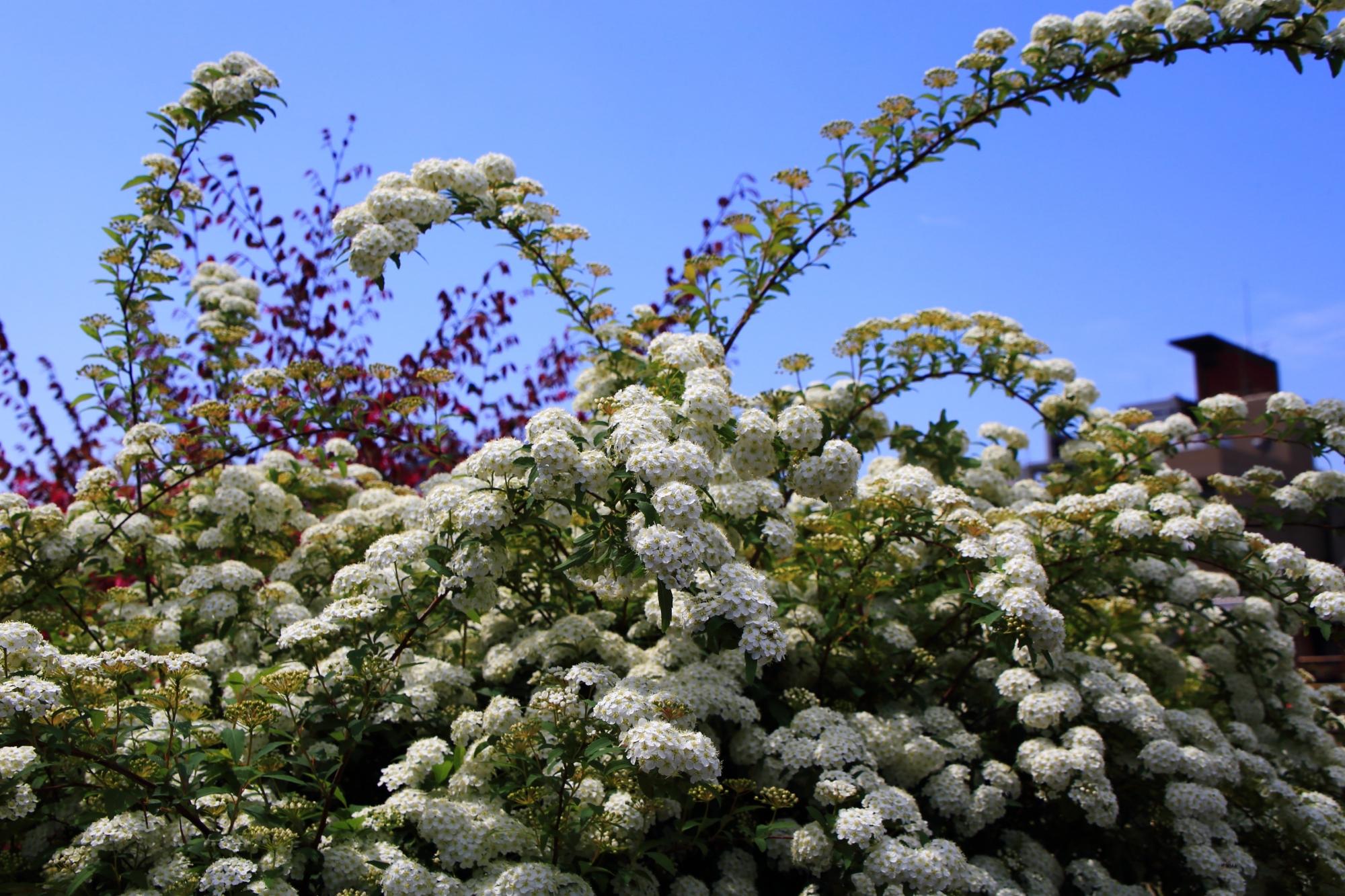 青空に映える華やかな白い花のコデマリ