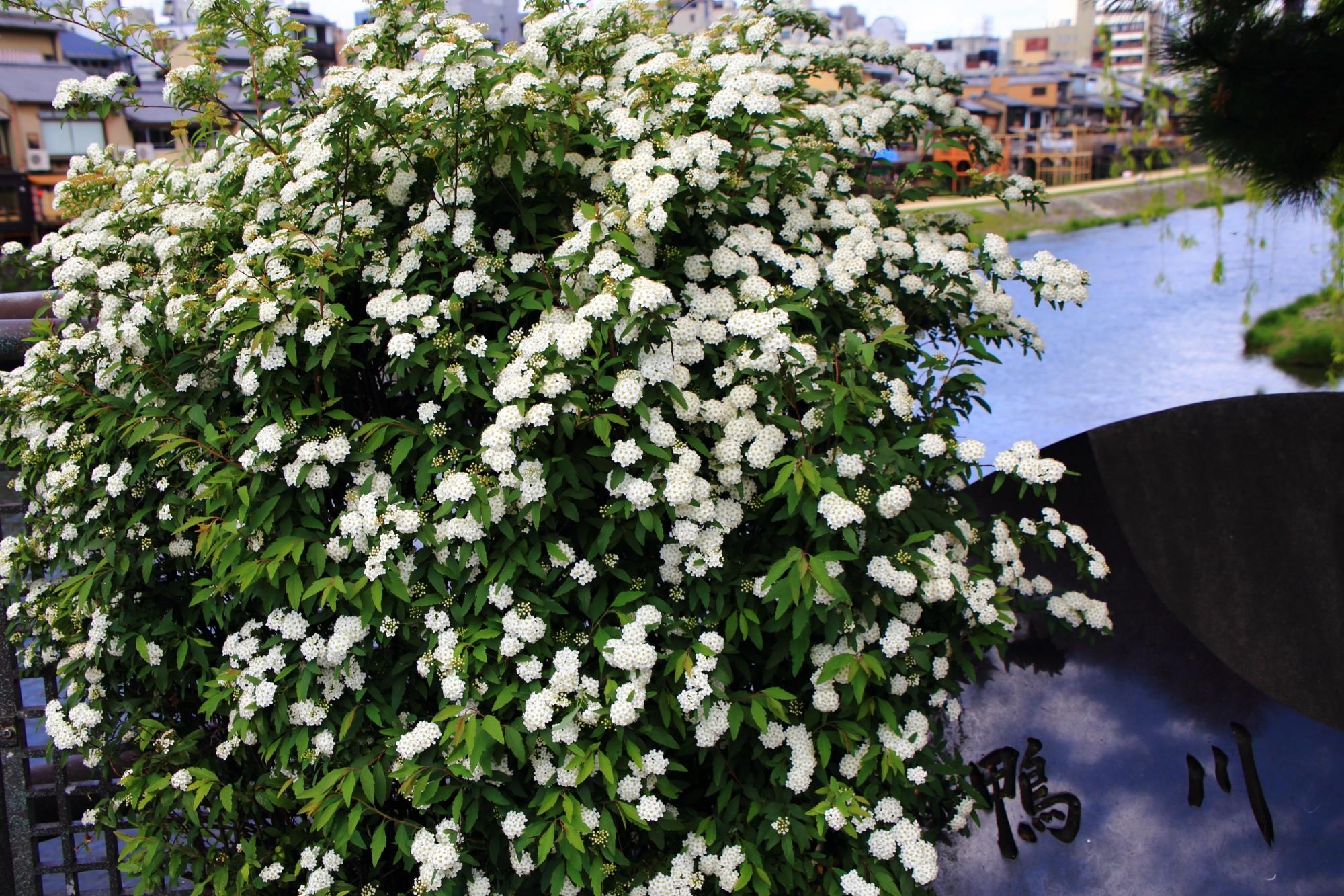 鴨川の真っ白な花を咲かせる小手毬(コデマリ)