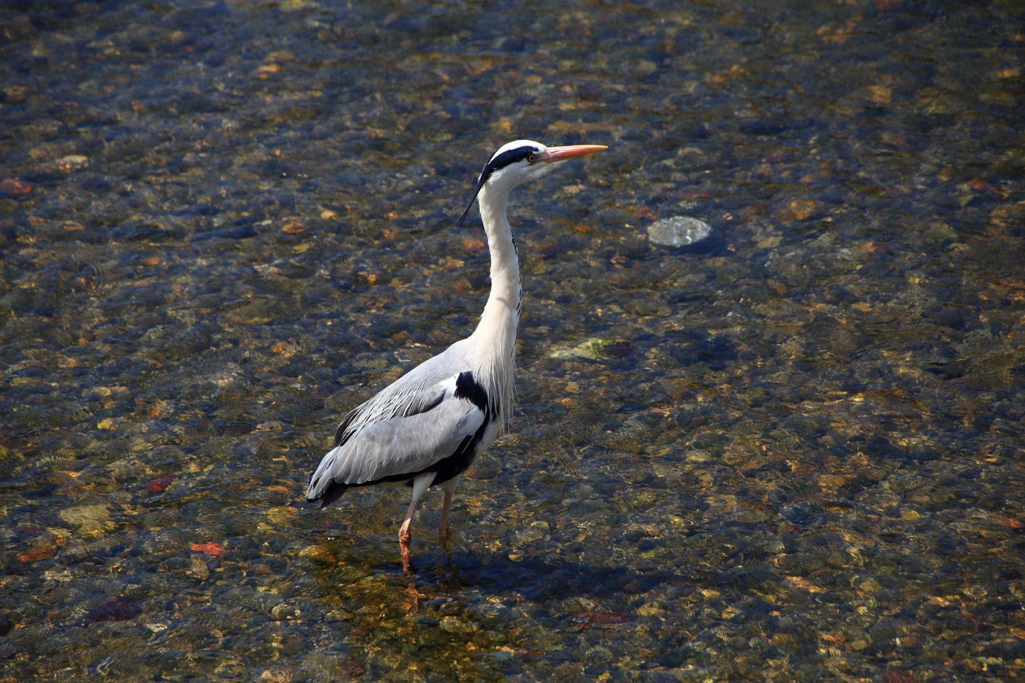 長閑な鴨川で良く見かける鷺さん