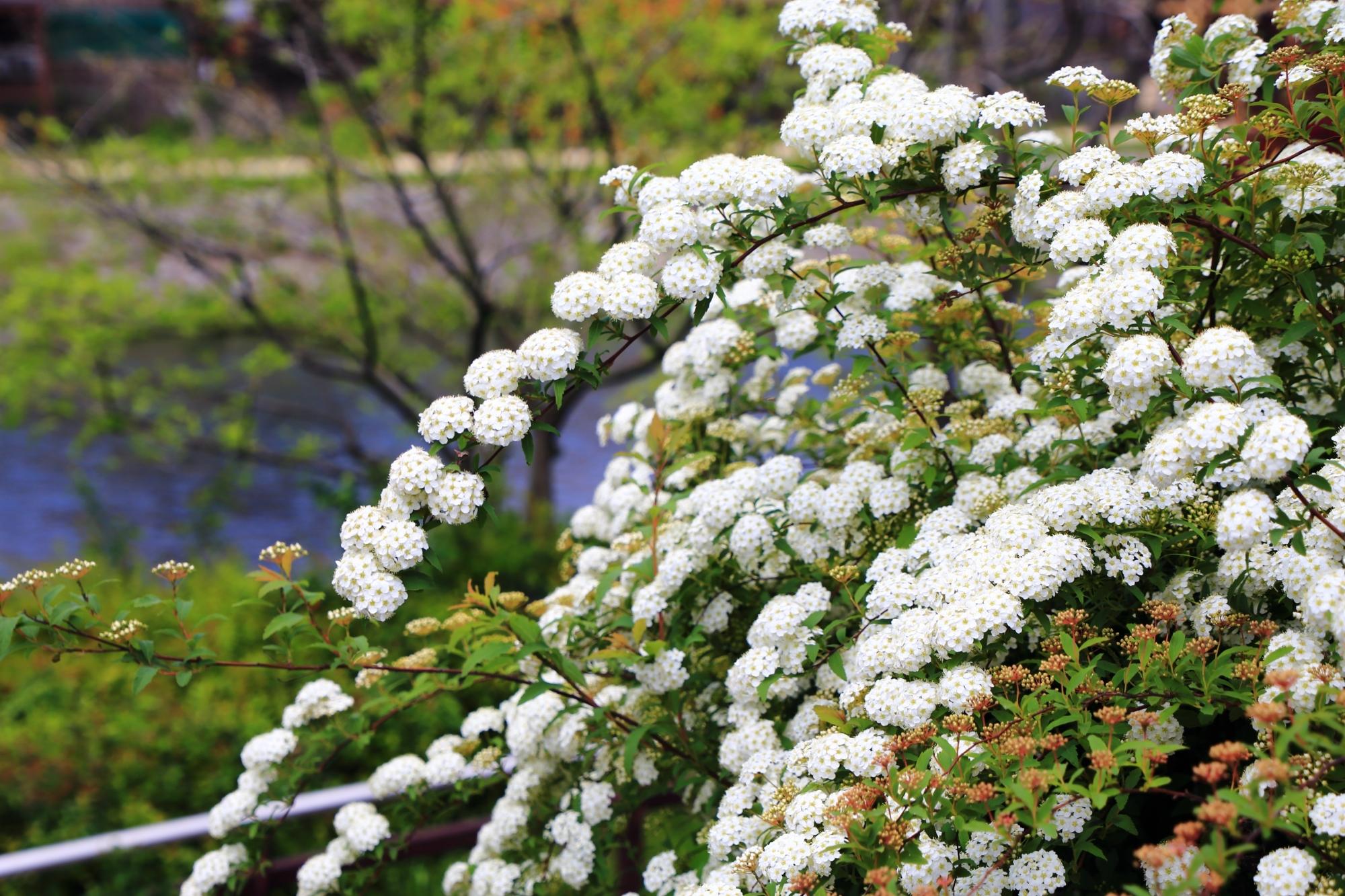 水辺を春色に華やぐ満開の小手毬(コデマリ)