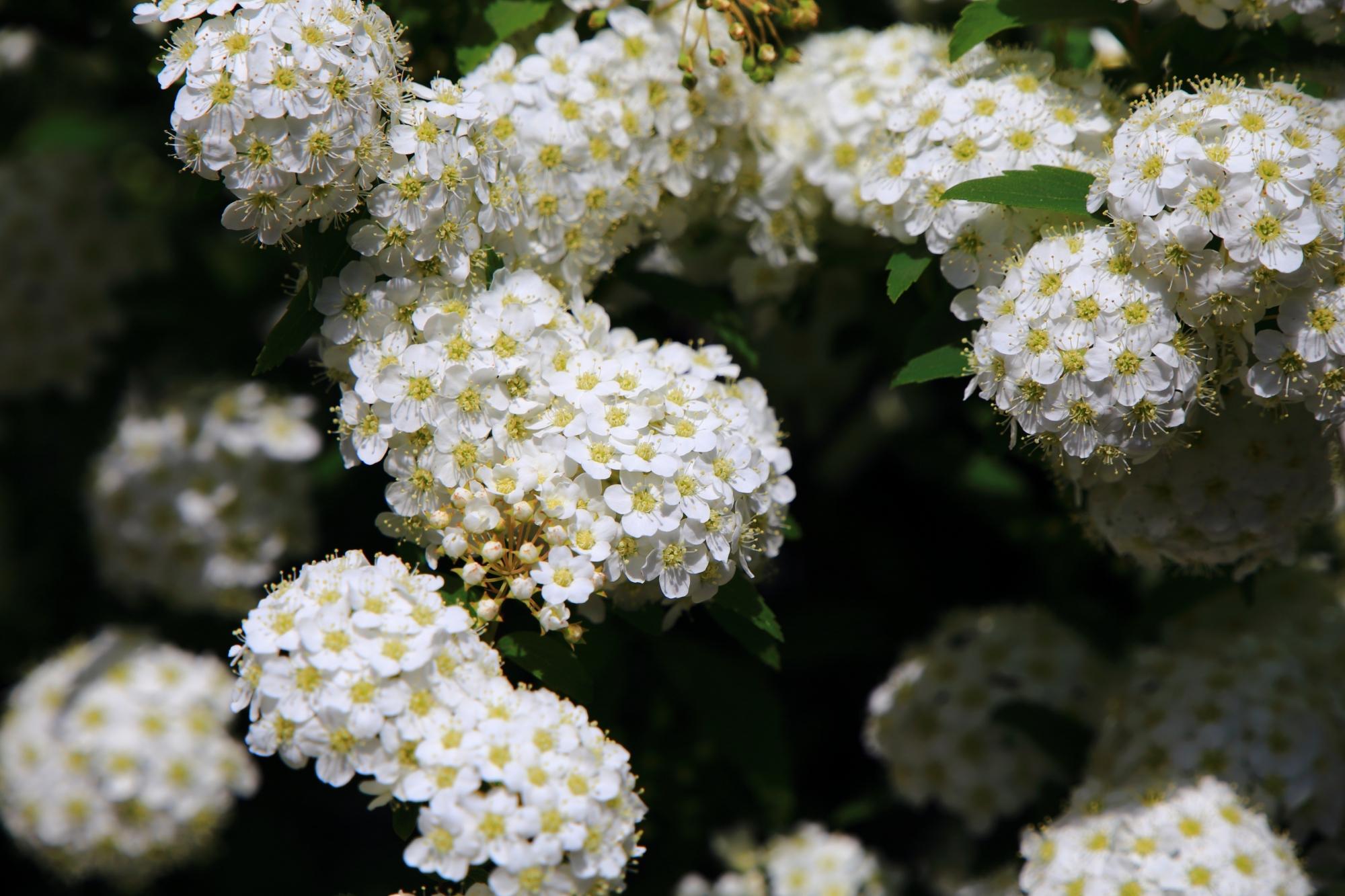 太陽を浴びて煌く白い小手毬(コデマリ)の花