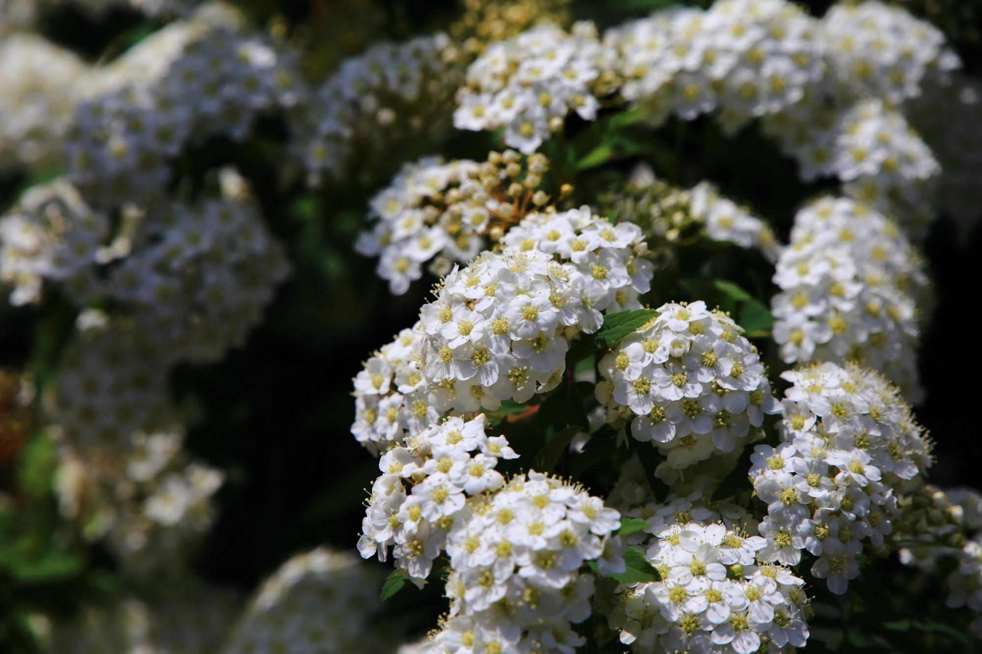 遠めで見るとの近くで見るのとでは印象がかなり異なる小手毬(こでまり)の花