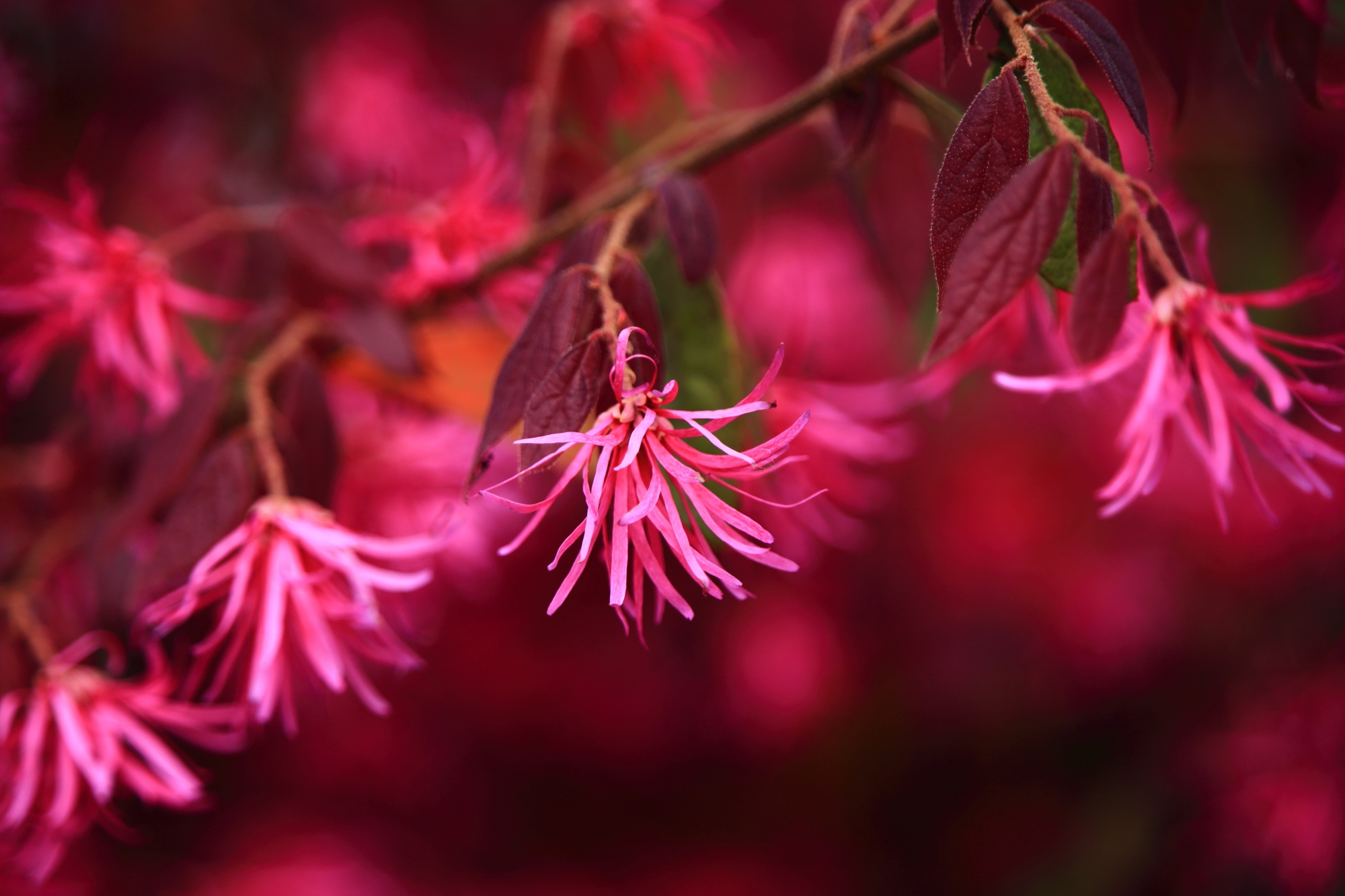 赤と紫の間のワインレッドのような色の花が咲くベニバナトキワマンサク