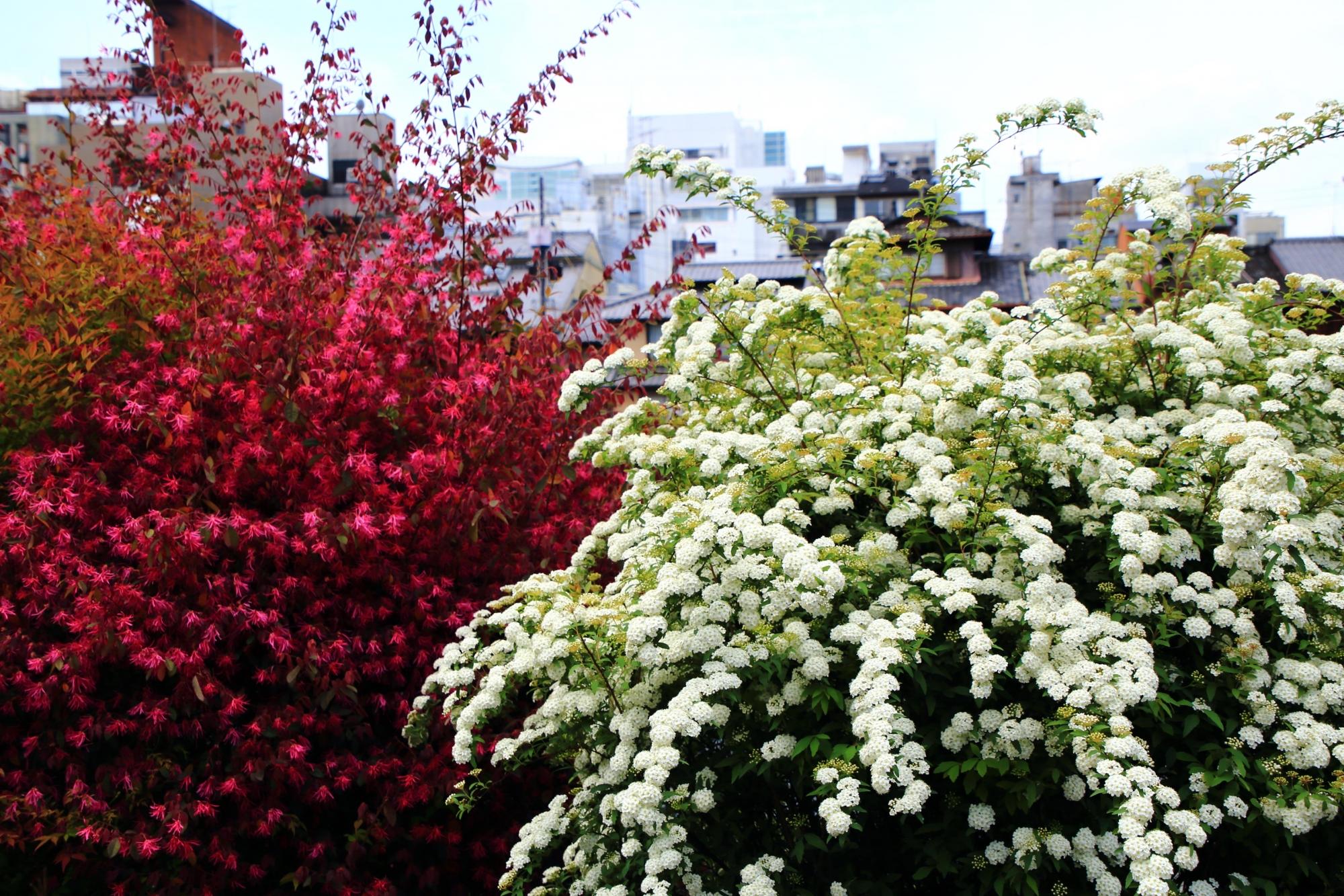 鴨川の真っ白な小手毬(コデマリ)と鮮やかな紅花常磐万作(ベニバナトキワマンサク)の春の花のコラボ