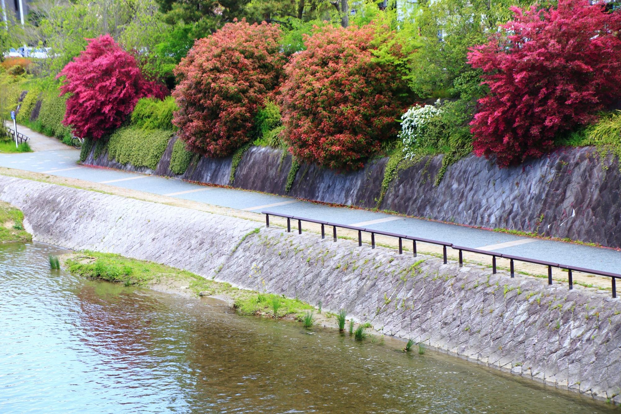 鴨川の素晴らしい紅花常磐万作(ベニバナトキワマンサク)や小手毬(コデマリ)と春の情景