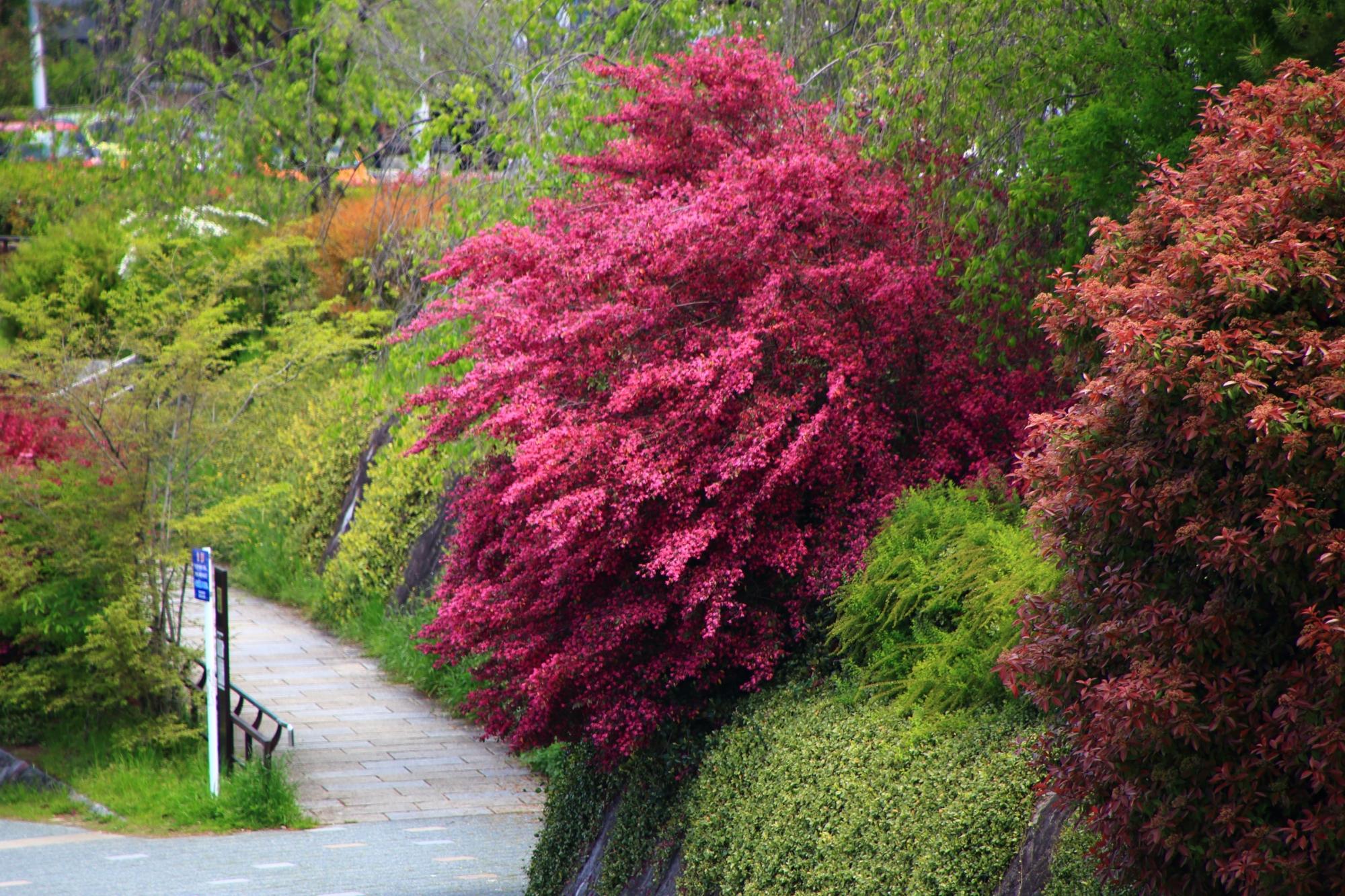 長閑な鴨川沿いの緑の中で強烈な個性を放つ紅花常磐万作(べにばなときわまんさく)