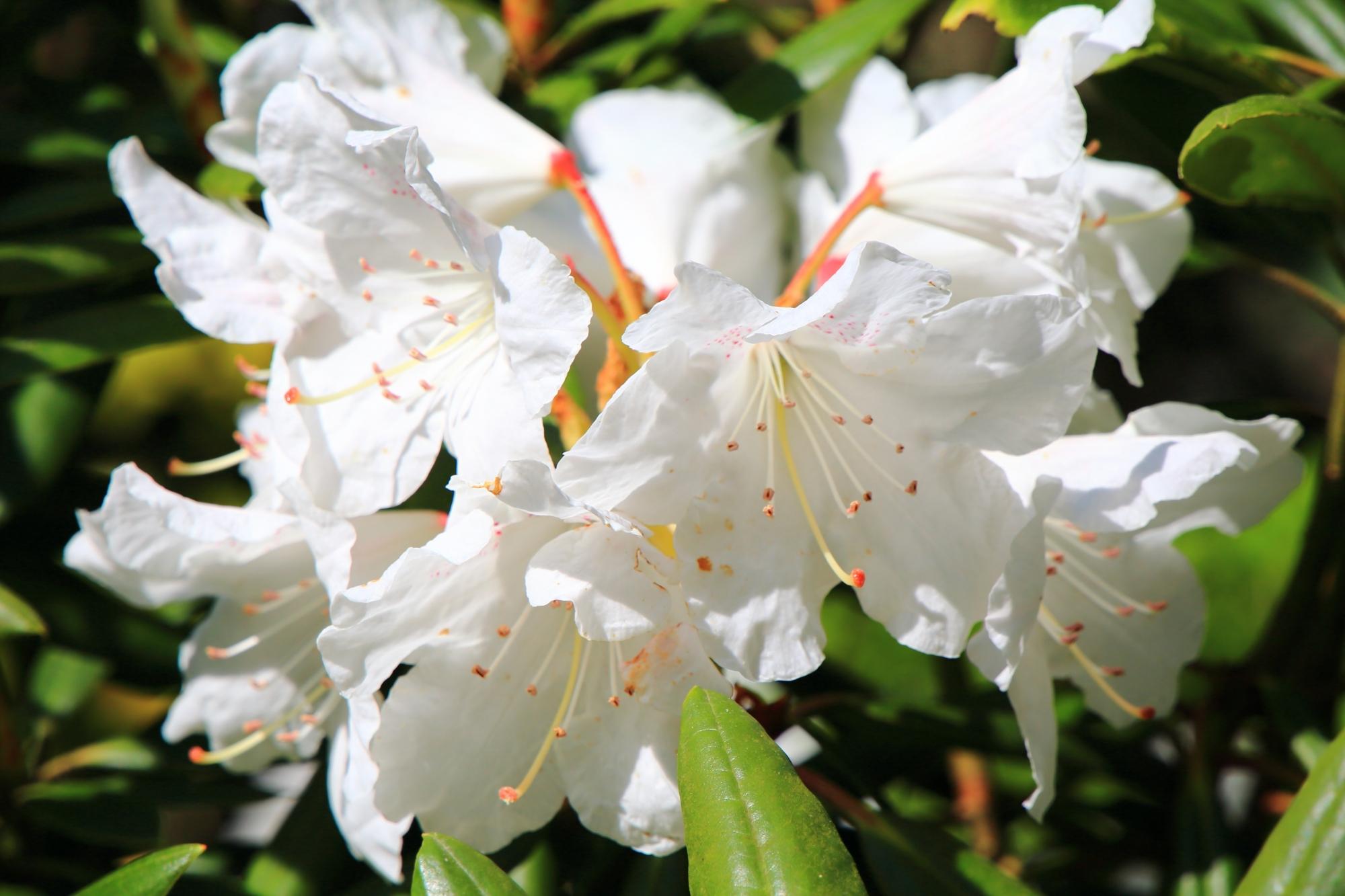 爽やかな真っ白な石楠花の花
